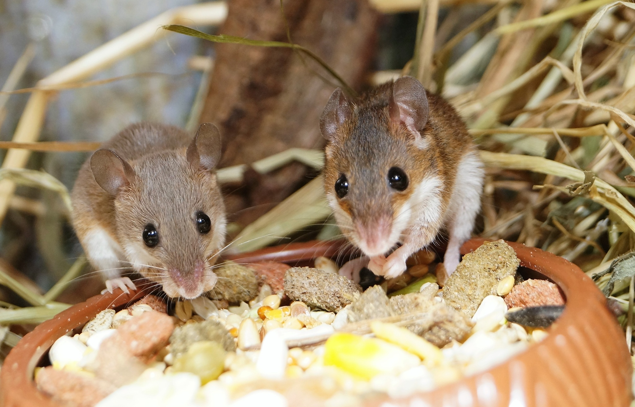 African dwarf mice by Blue Beard