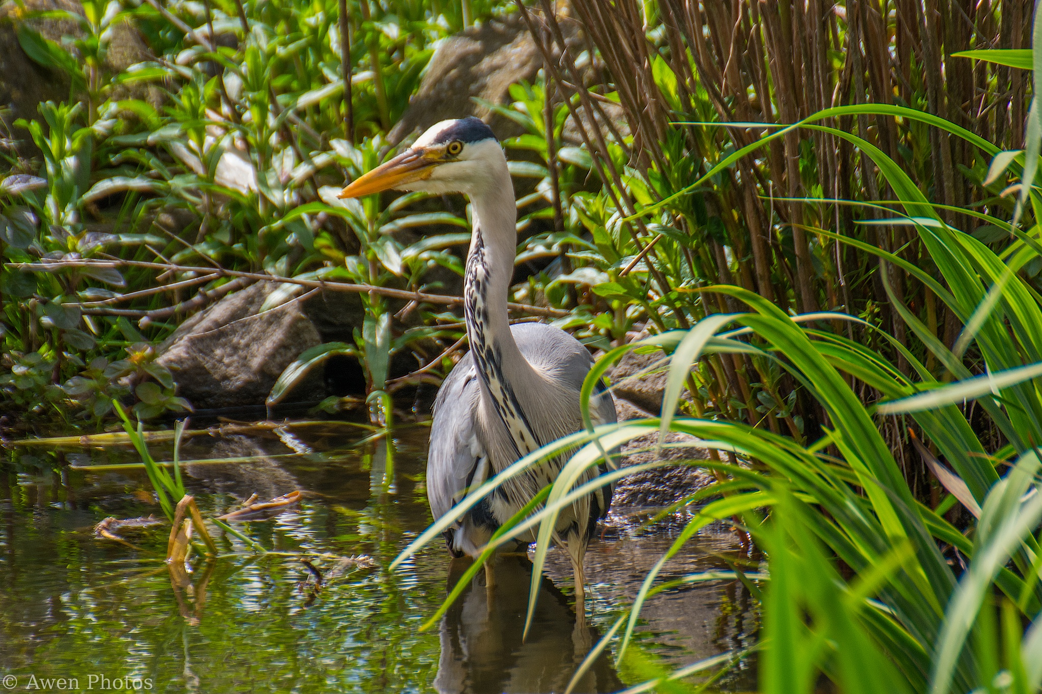 Grey Heron by Neil Pitchford