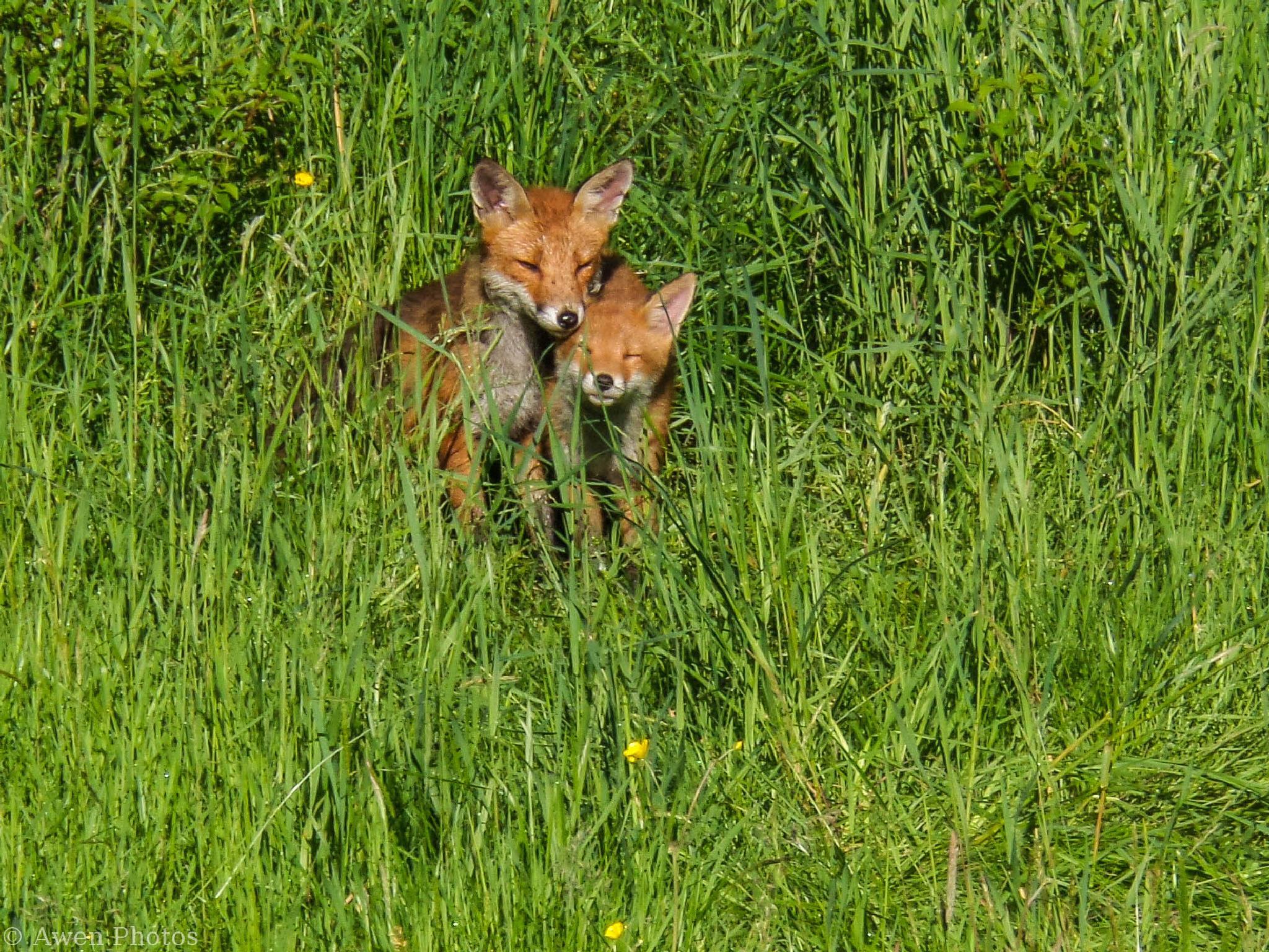 Glasgow fox family (1) by Neil Pitchford