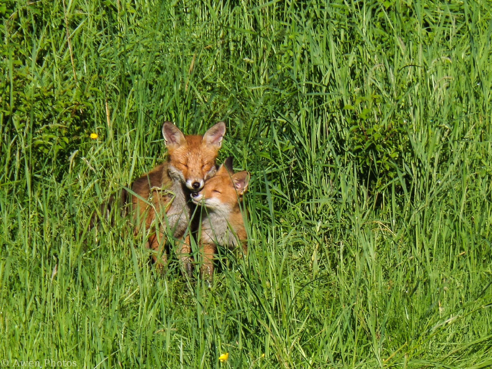 Glasgow fox family (2) by Neil Pitchford