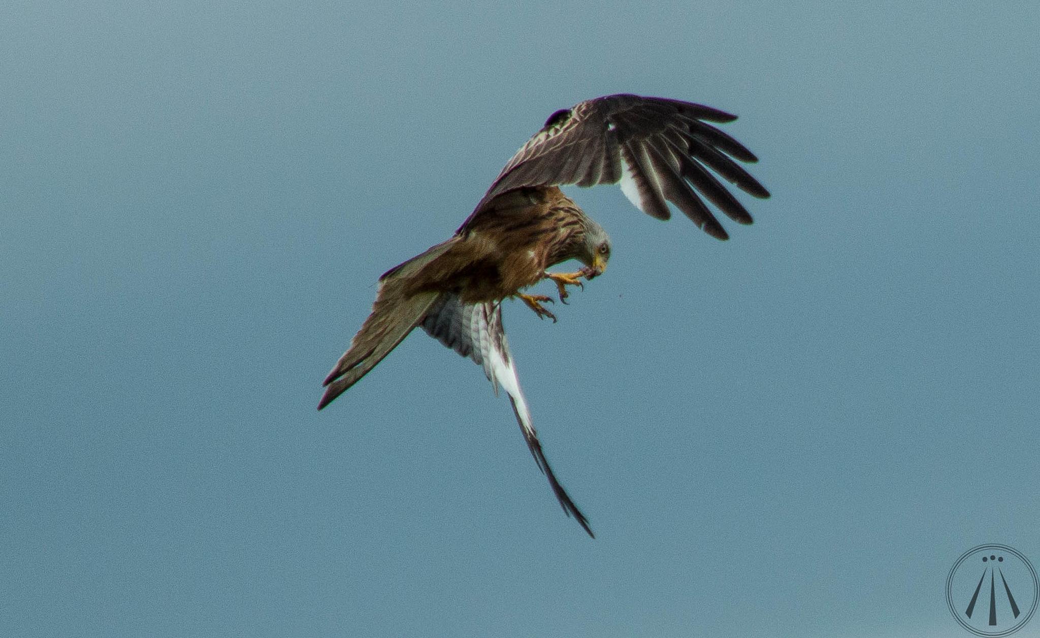 Feeding Red Kite by Neil Pitchford