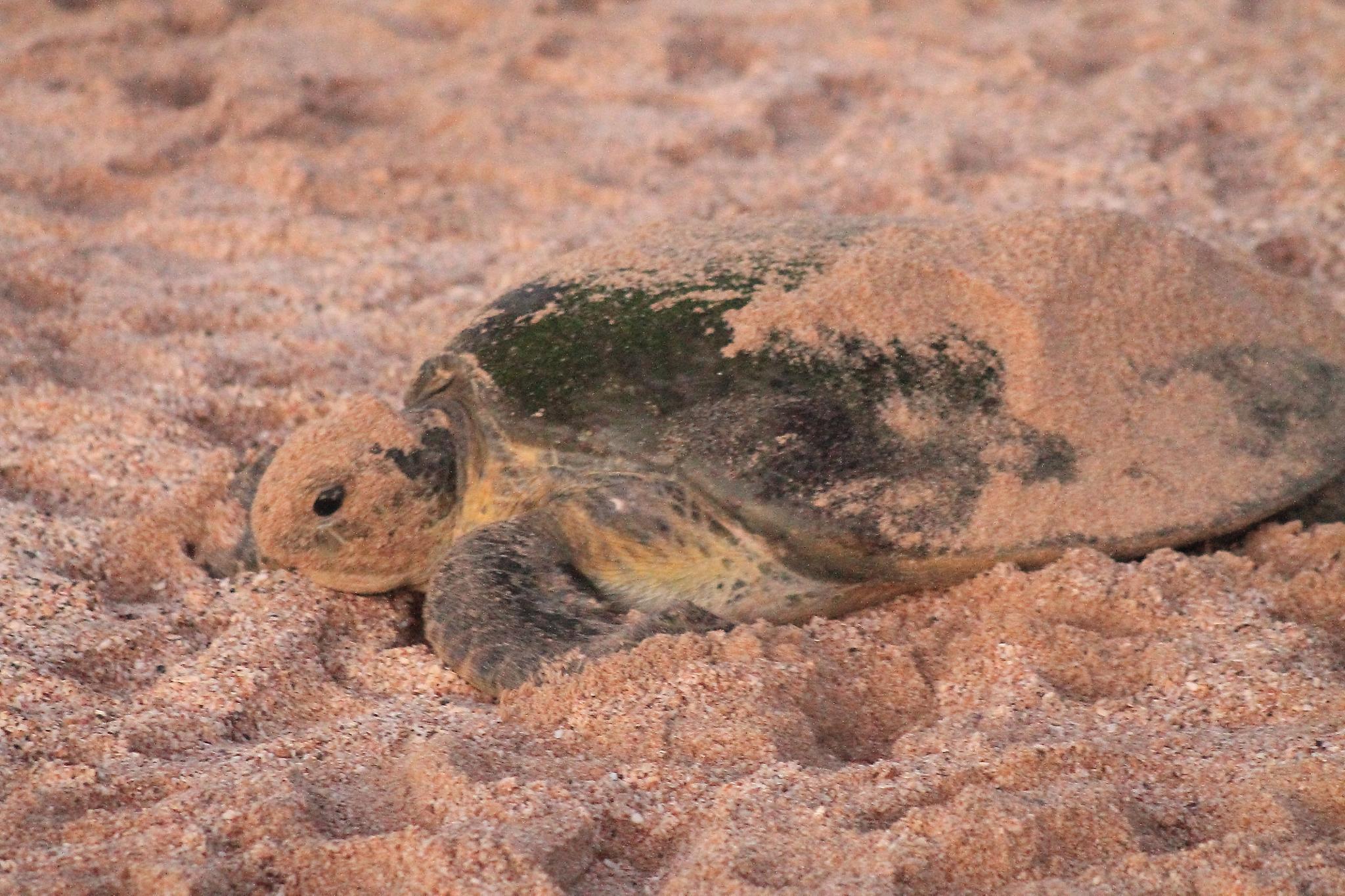 Green Back Turtle by Shehan Mcgrath