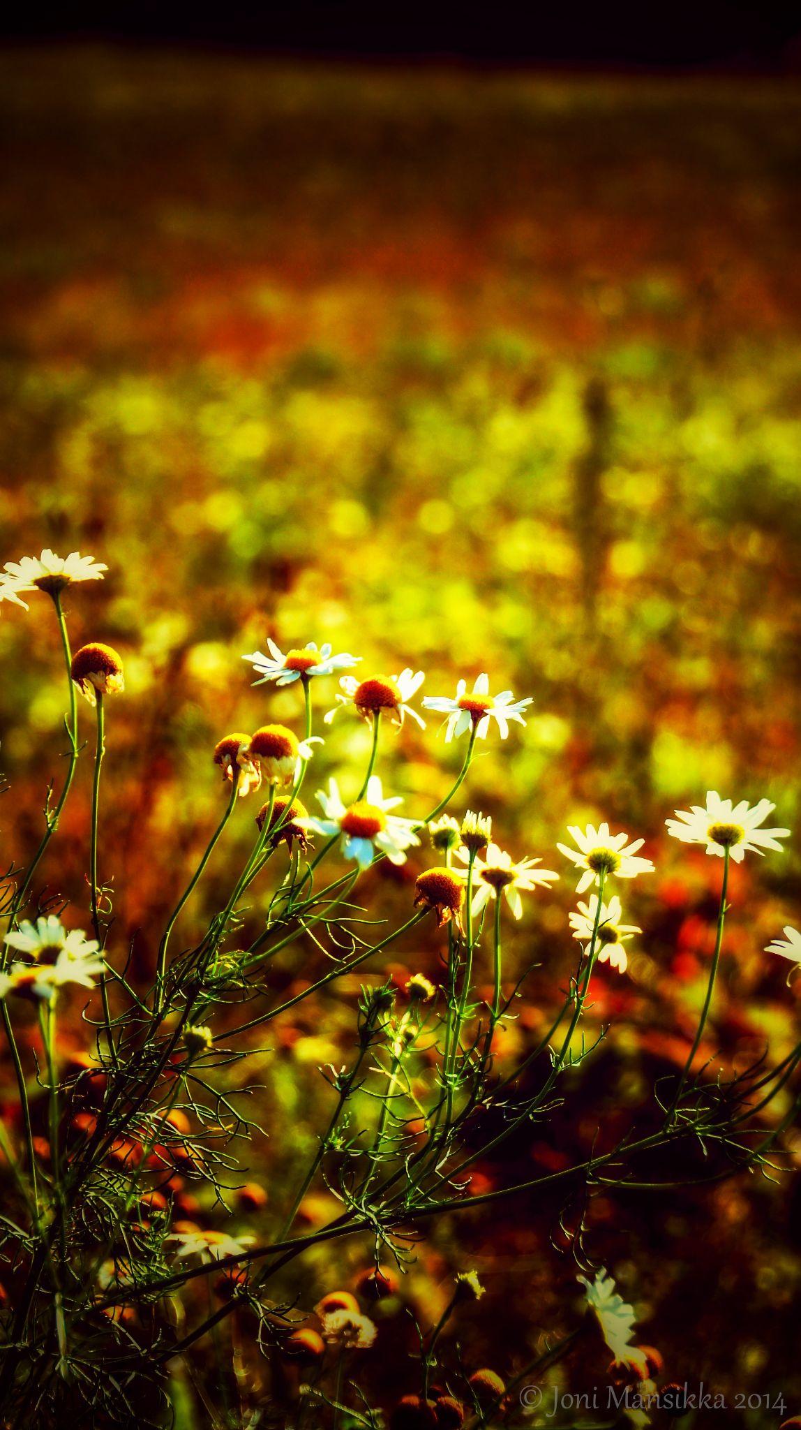 Beauty of August by Joni Mansikka