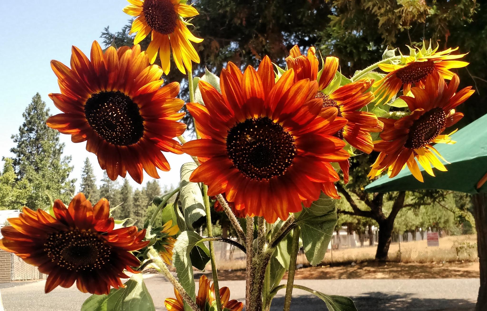 Red Sunflowers by mick-schwartz