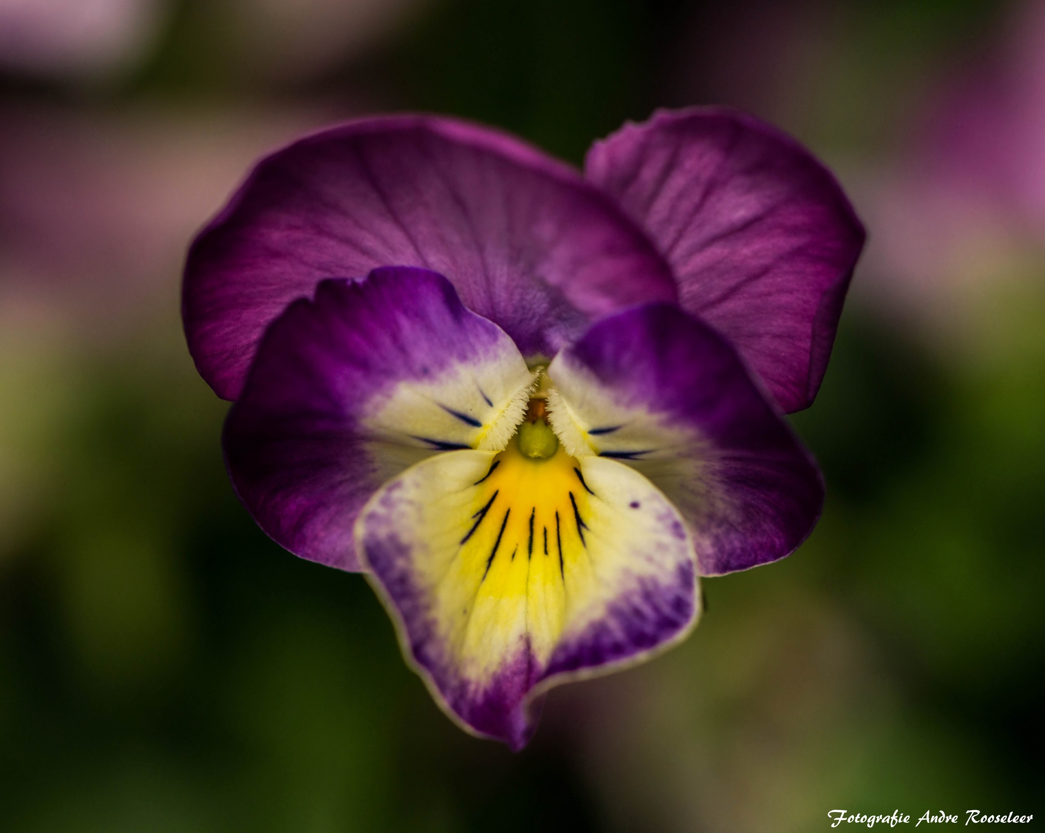 Good afternoon To everyone a very nice day and a sunny weekend  Violet (Viola)  by andre.rooseleer
