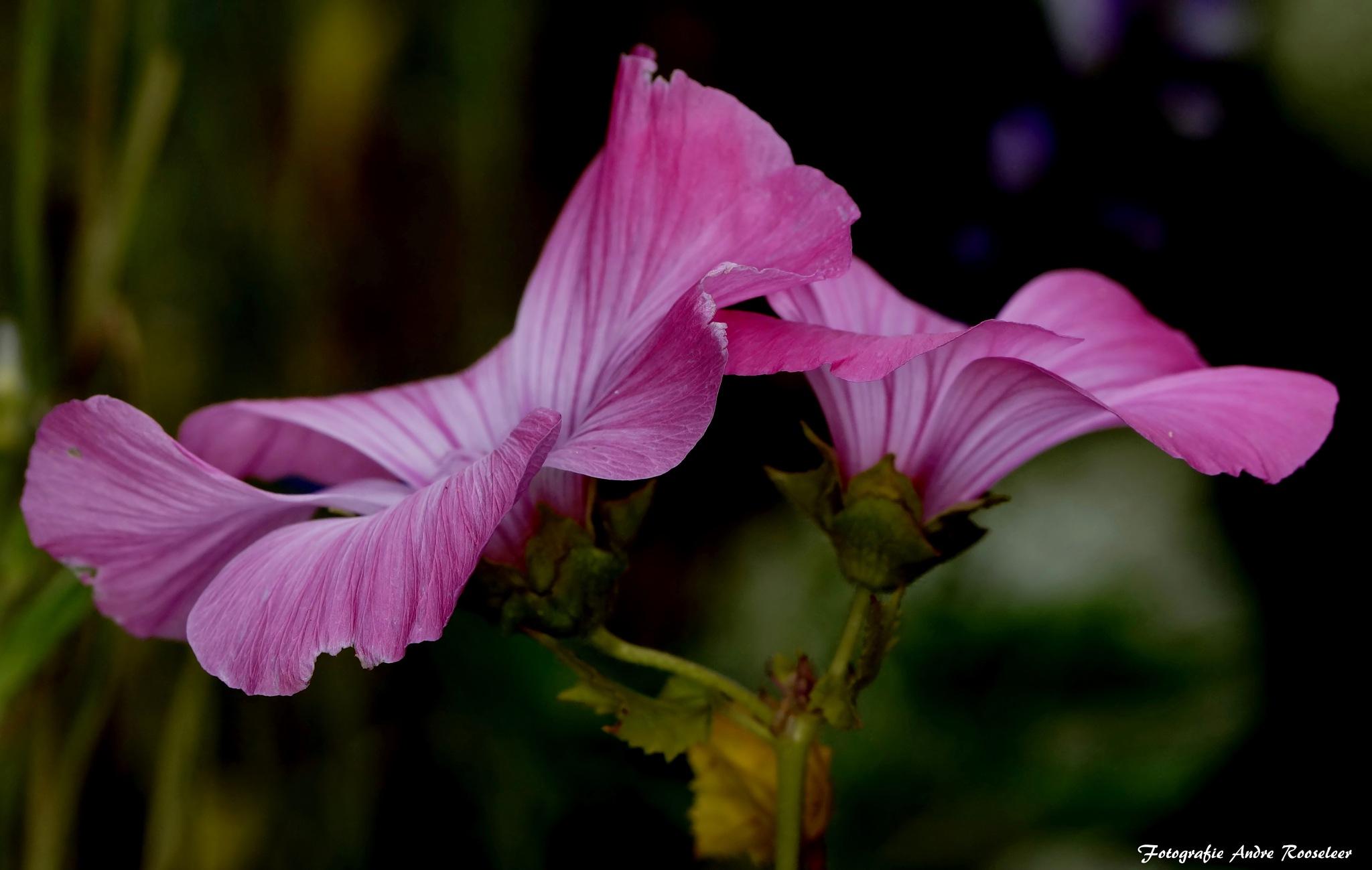 Ruby Regis Lavatera trimestris - Malva --Struikmalva  by andre.rooseleer