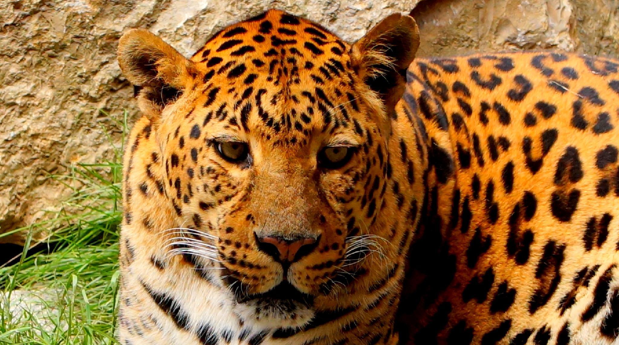 Luipaard (leopard) by andre.rooseleer