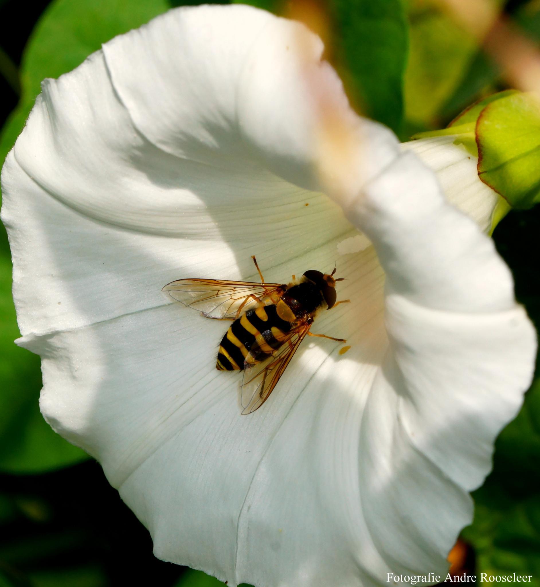 Zweefvlieg (Hoverfly) by andre.rooseleer