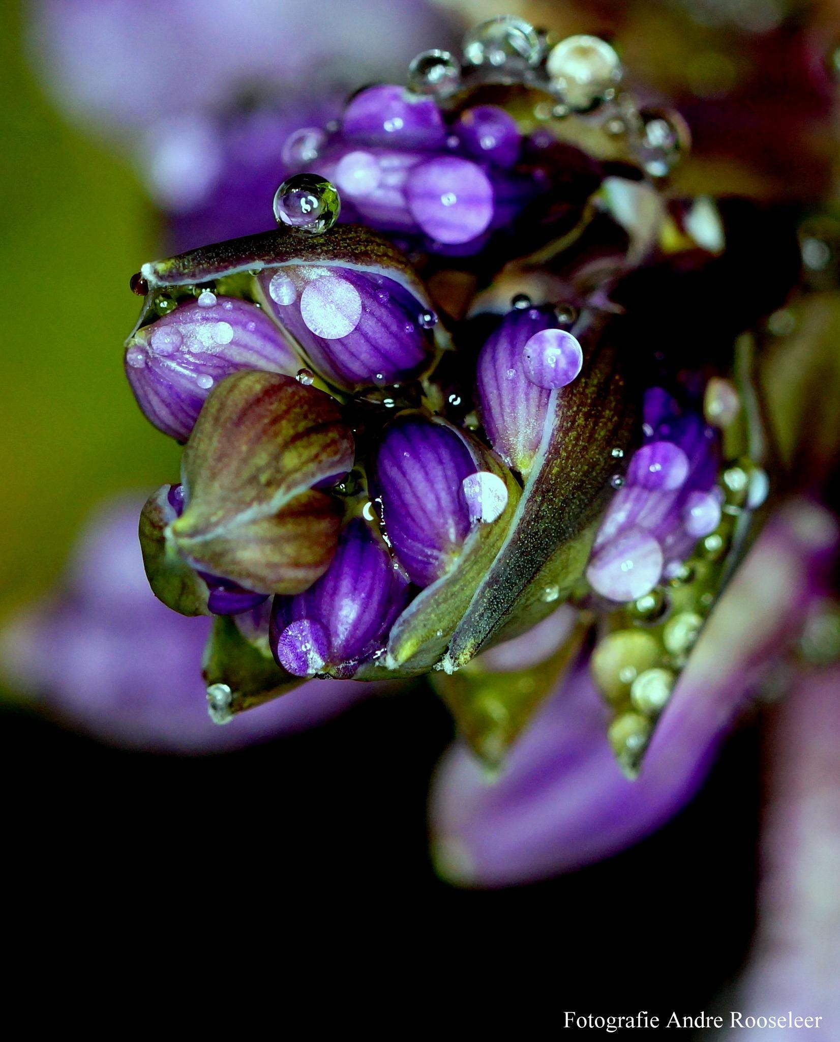 Regendruppels op de bloem van de Hosta(Raindrops on the flower of Hosta) by andre.rooseleer