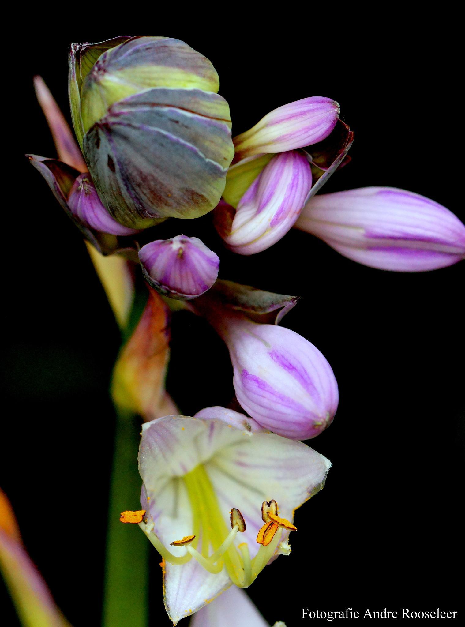 Bloem van de hosta(Flower hosta)3 by andre.rooseleer