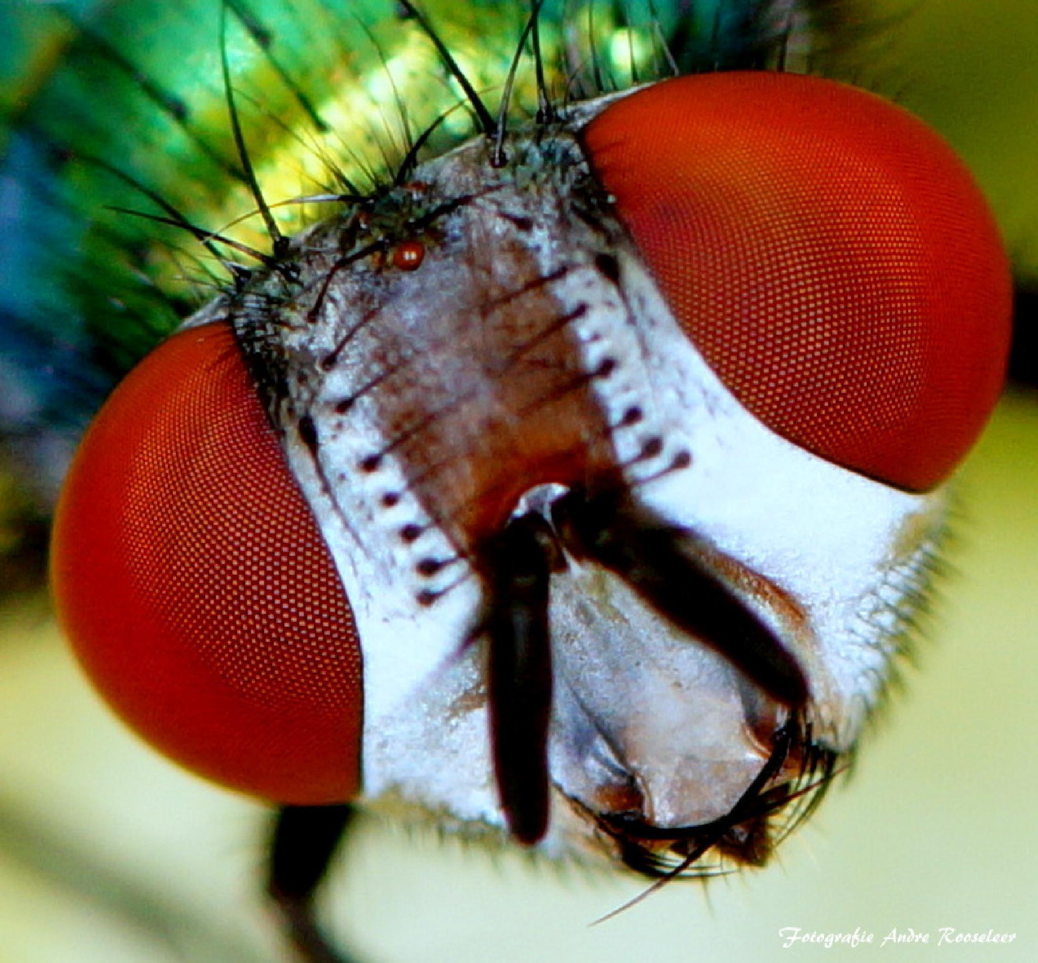 Groene keizersvlieg      Green emperor fly by andre.rooseleer