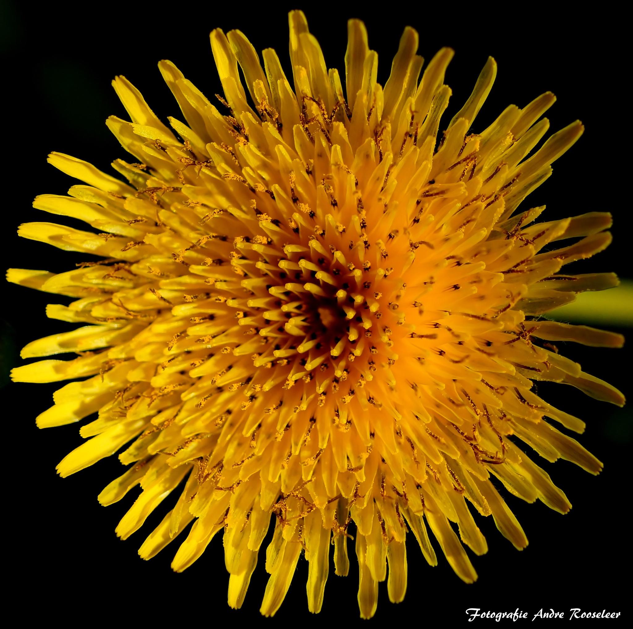 Paardenbloem----Dandelion (Taraxacum officinale) by andre.rooseleer