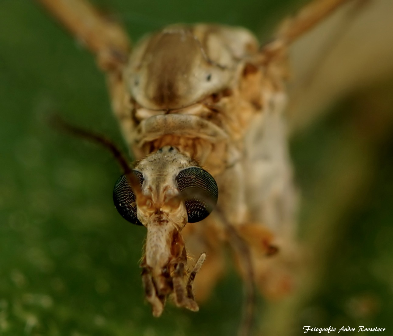 Crane fly      Arthropoda (arthropods)     Class: Insecta (insects)     Order: Diptera (fly and mo by andre.rooseleer