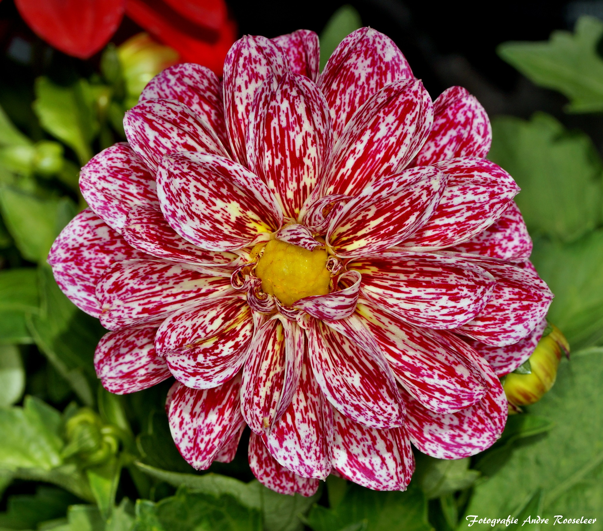 Good morning A very nice day for everyone  A beauty of nature (Dalia) by andre.rooseleer