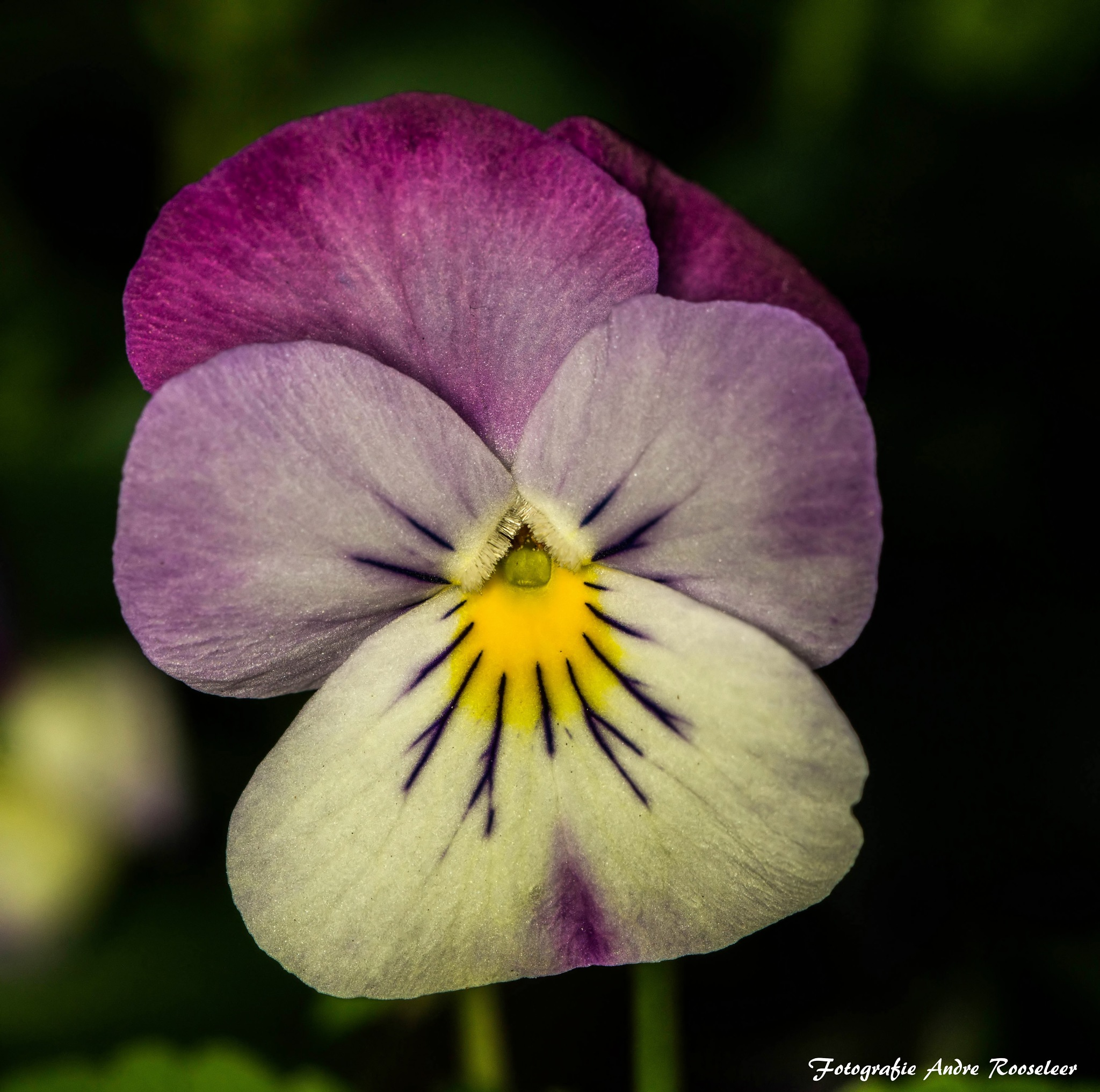 Good morning A very nice day for everyone  Violet (Viola) is a genus from the violet family (Violace by andre.rooseleer