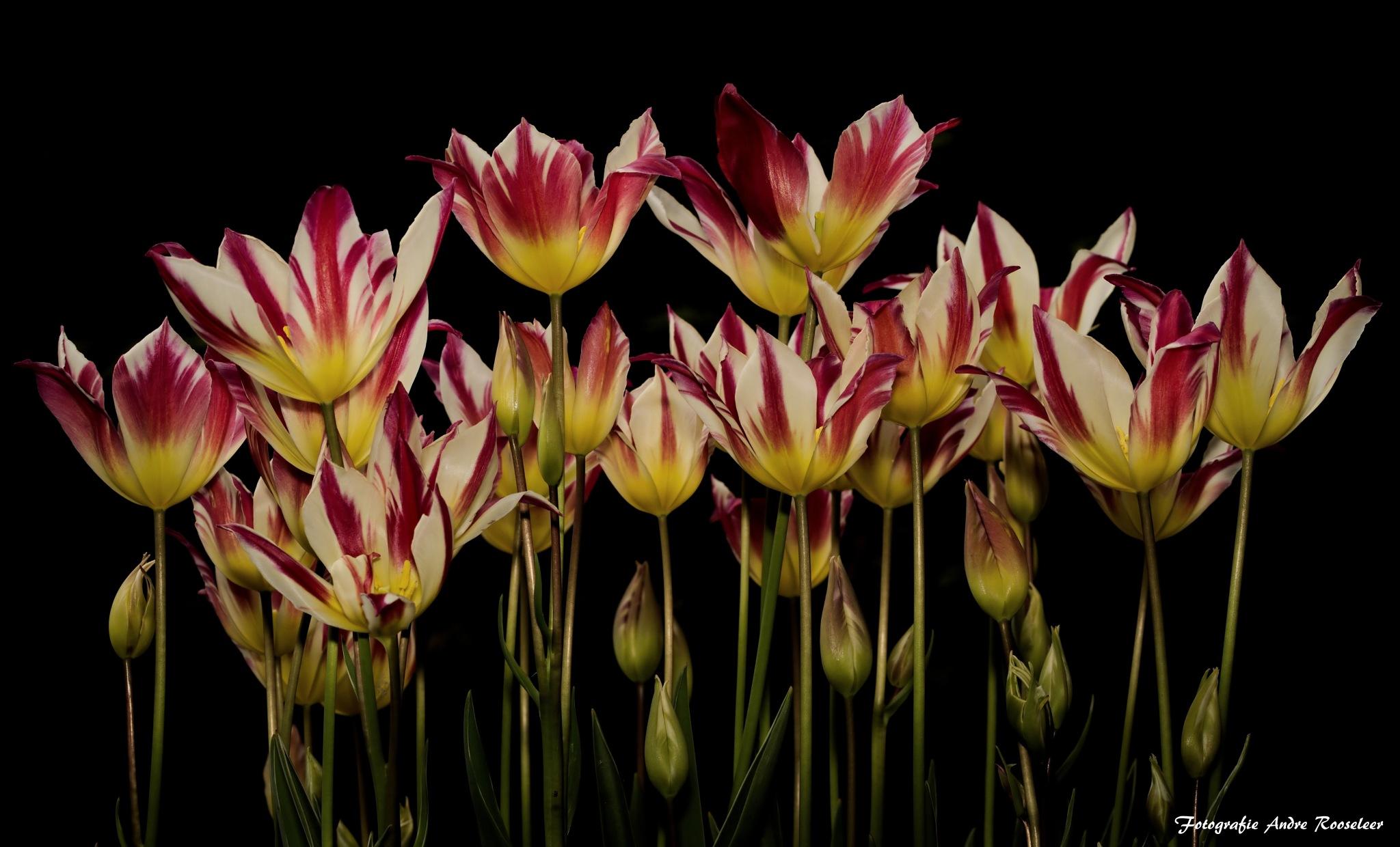 Tulips  by andre.rooseleer