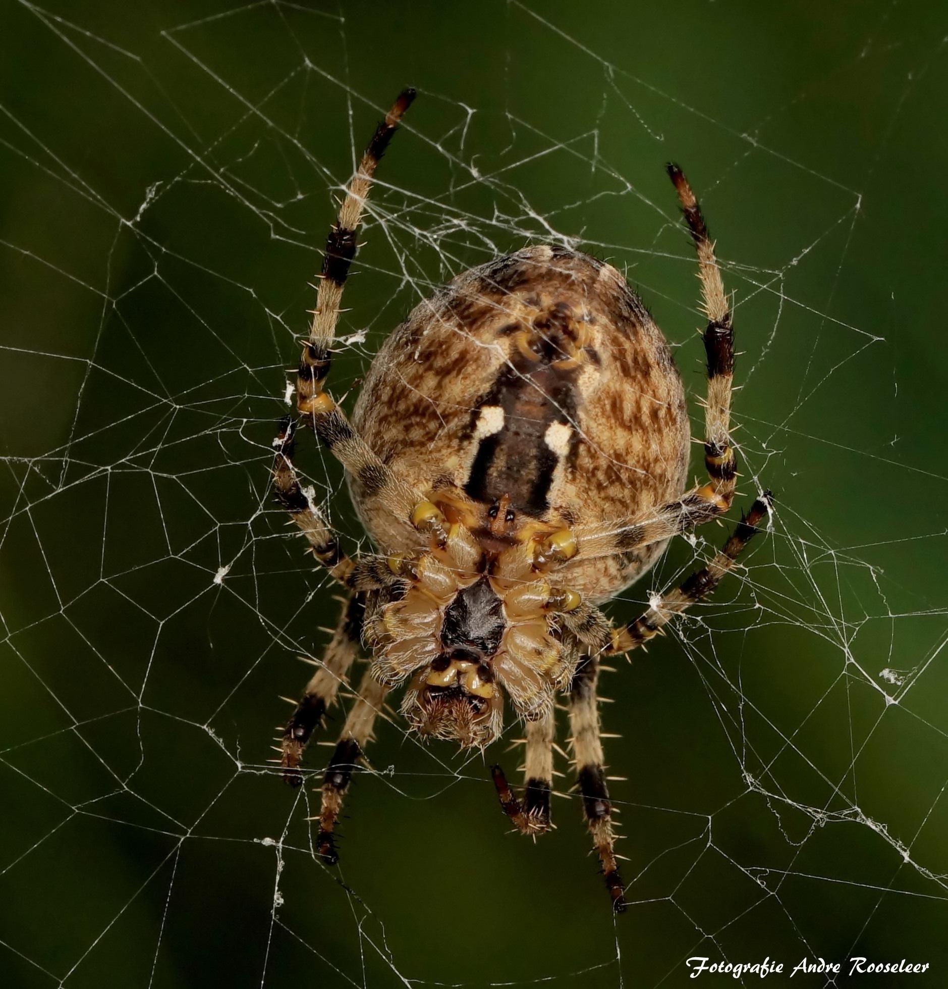 European garden spider    by andre.rooseleer