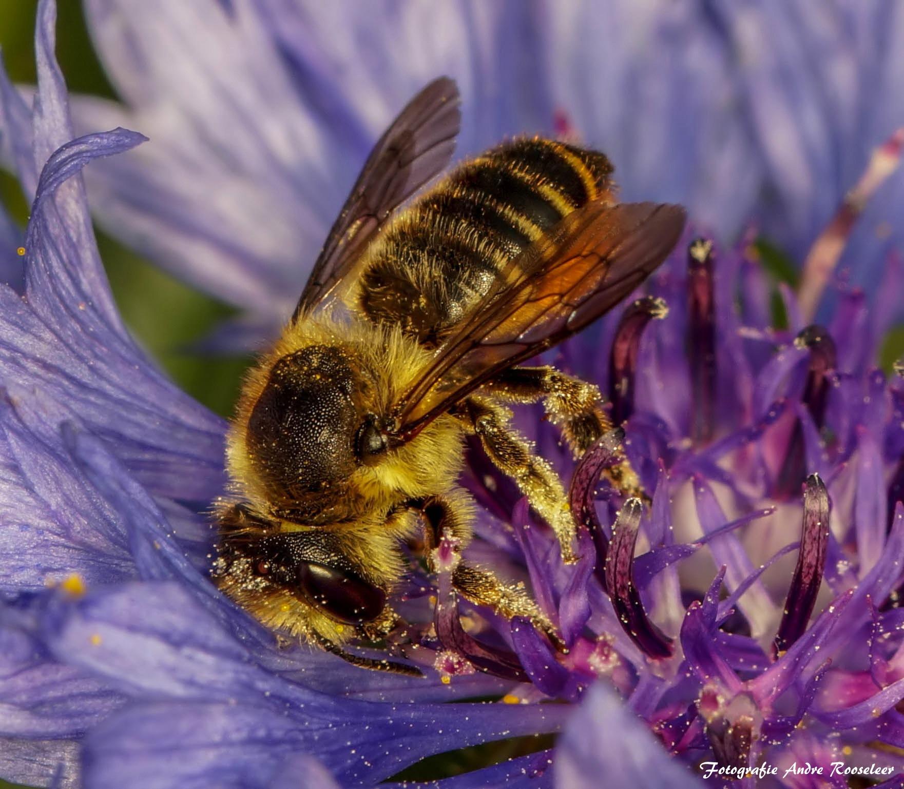 Bee in a flower   by andre.rooseleer