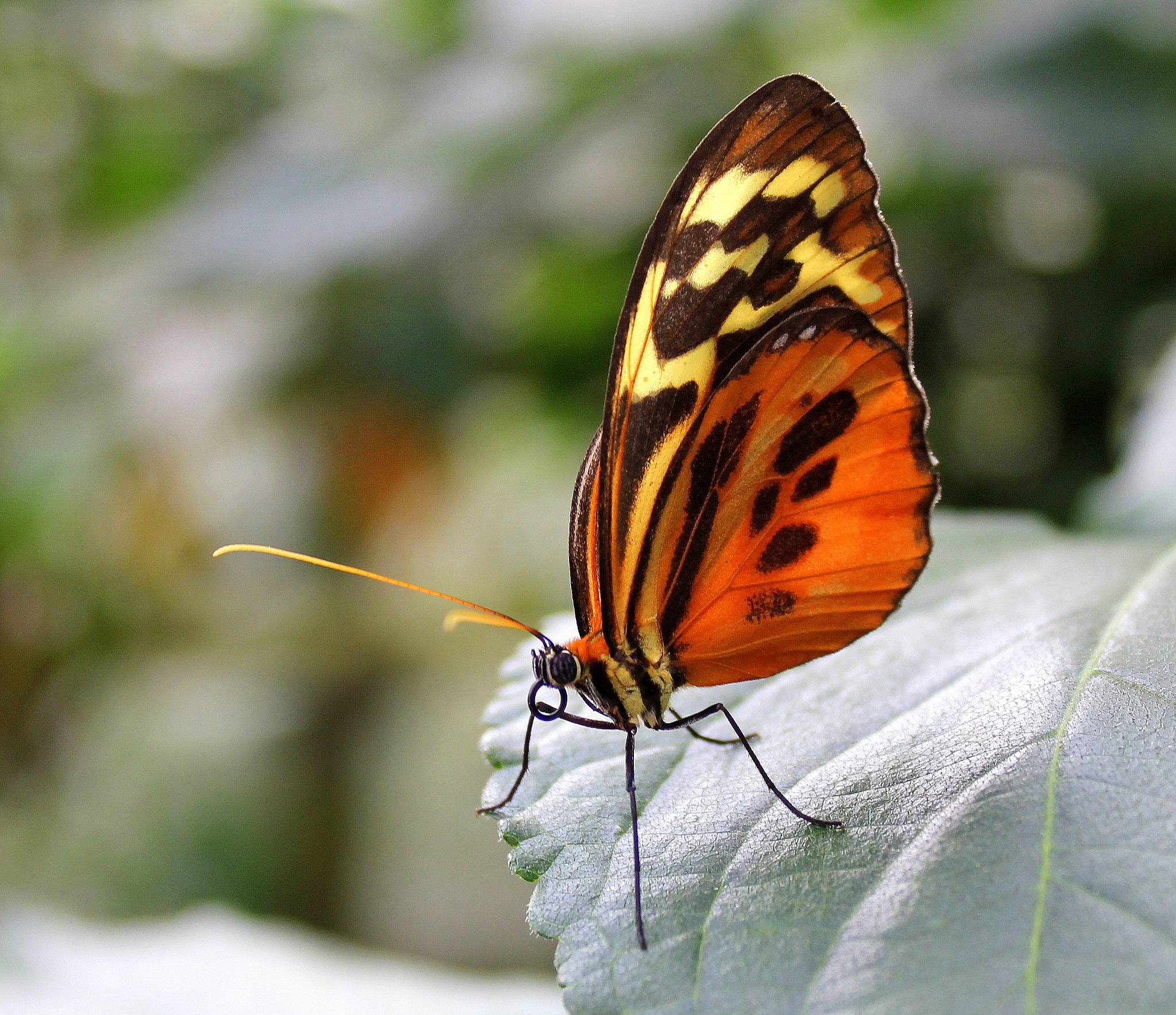 Heliconius Hecale. by joselok05