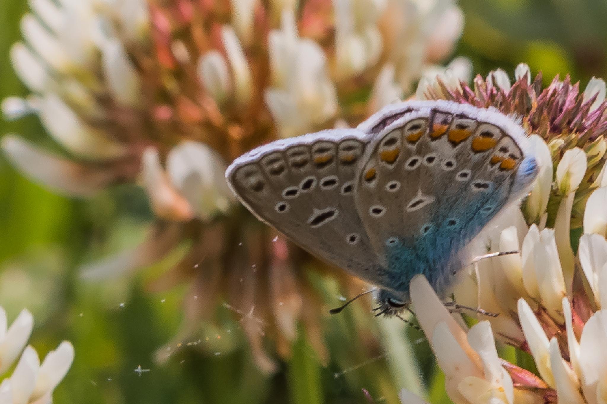 Common blue (Polyommatus icarus) by Tomasz Kosidło