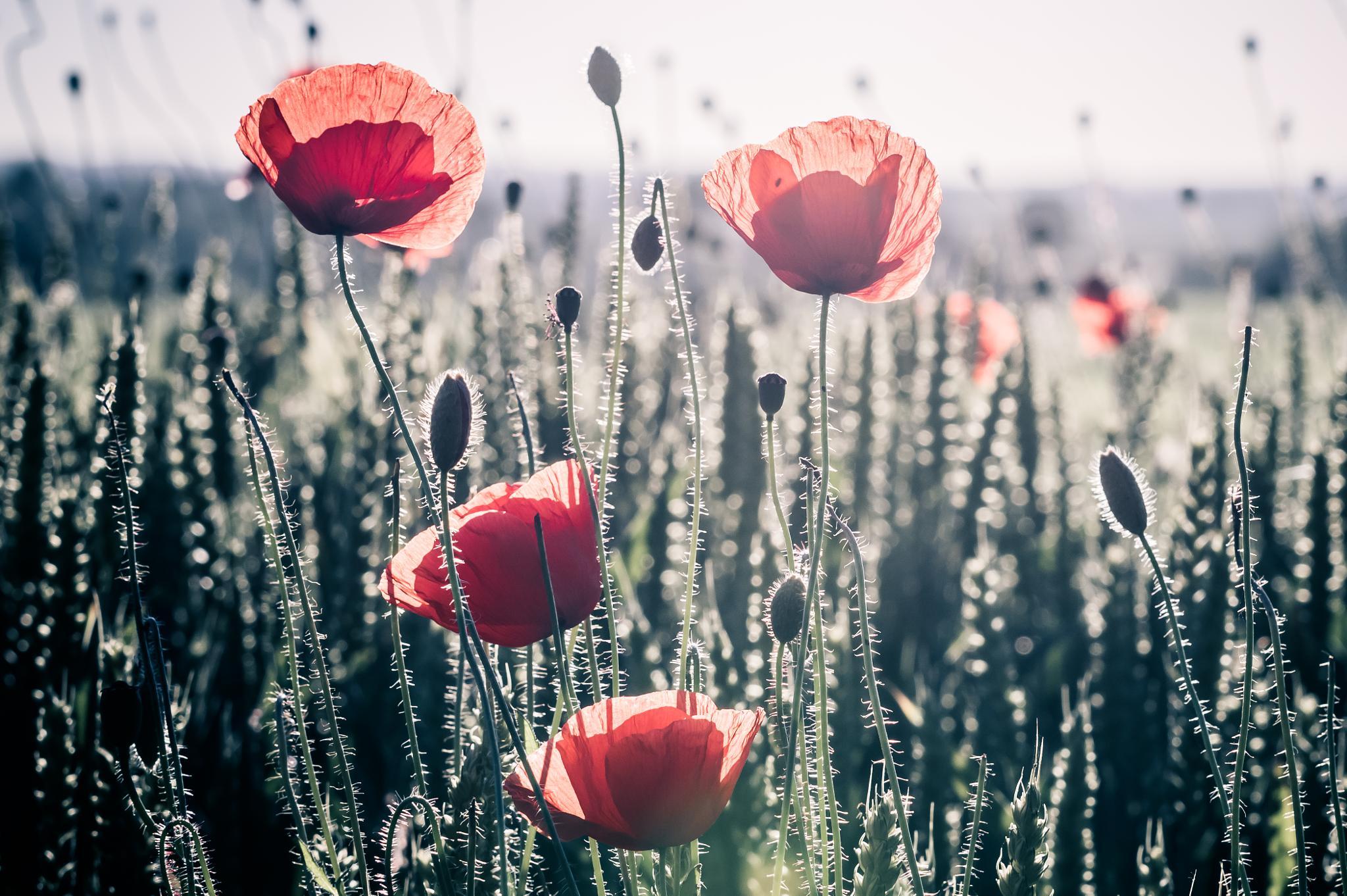 Poppies in wheat by Tomasz Kosidło