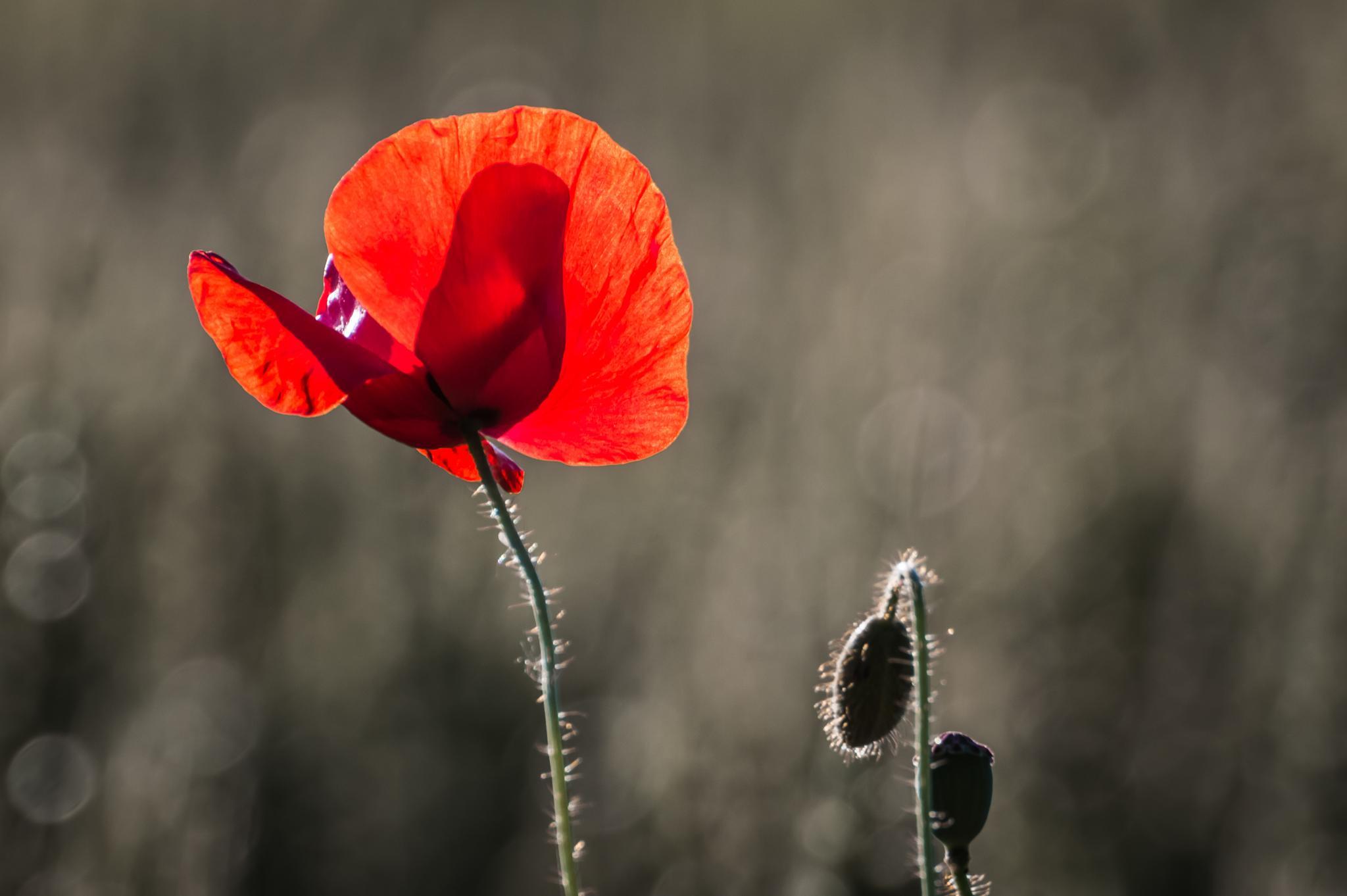 Poppy flower by Tomasz Kosidło