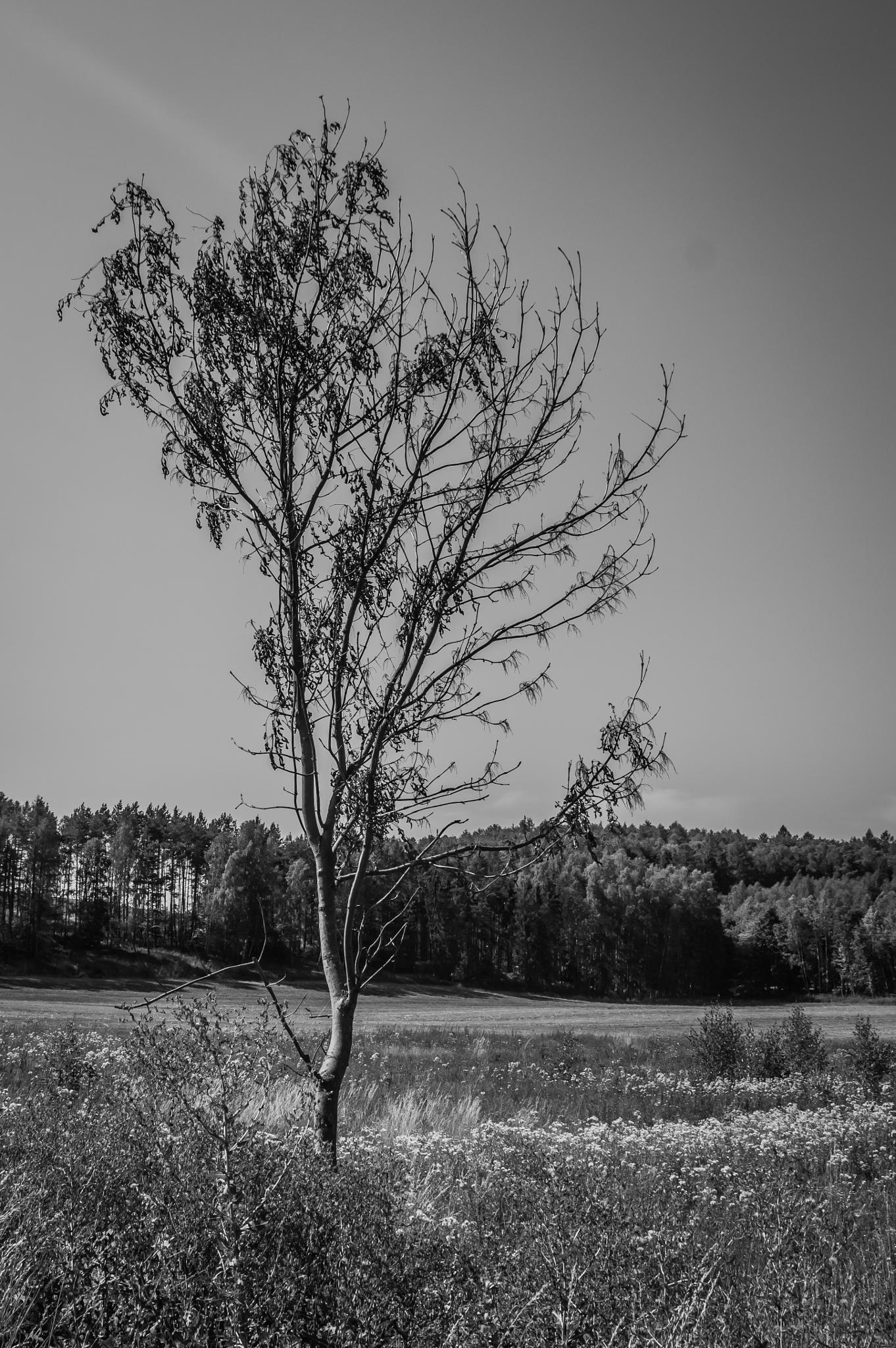 Dry tree by Tomasz Kosidło