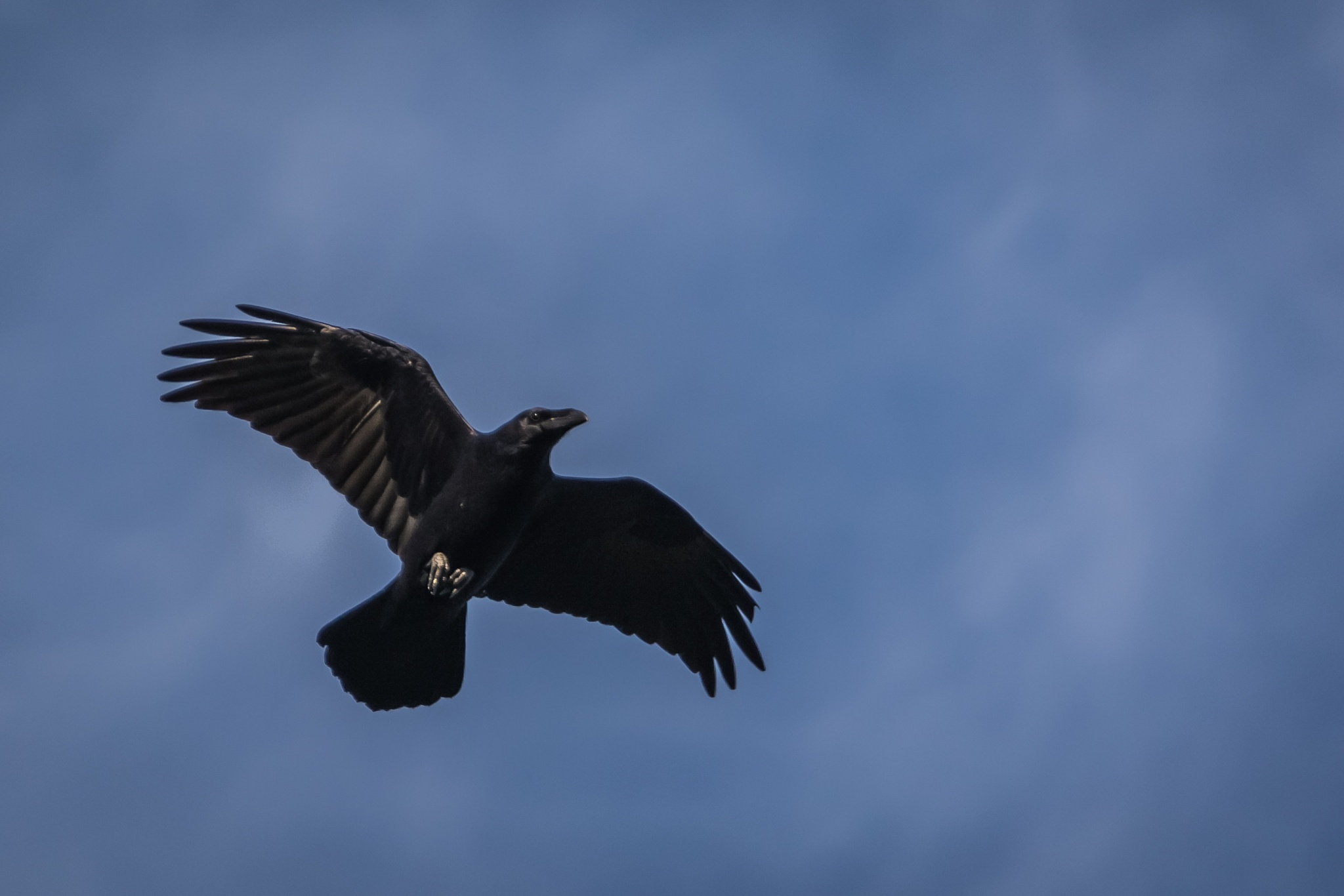 Black raven by Tomasz Kosidło