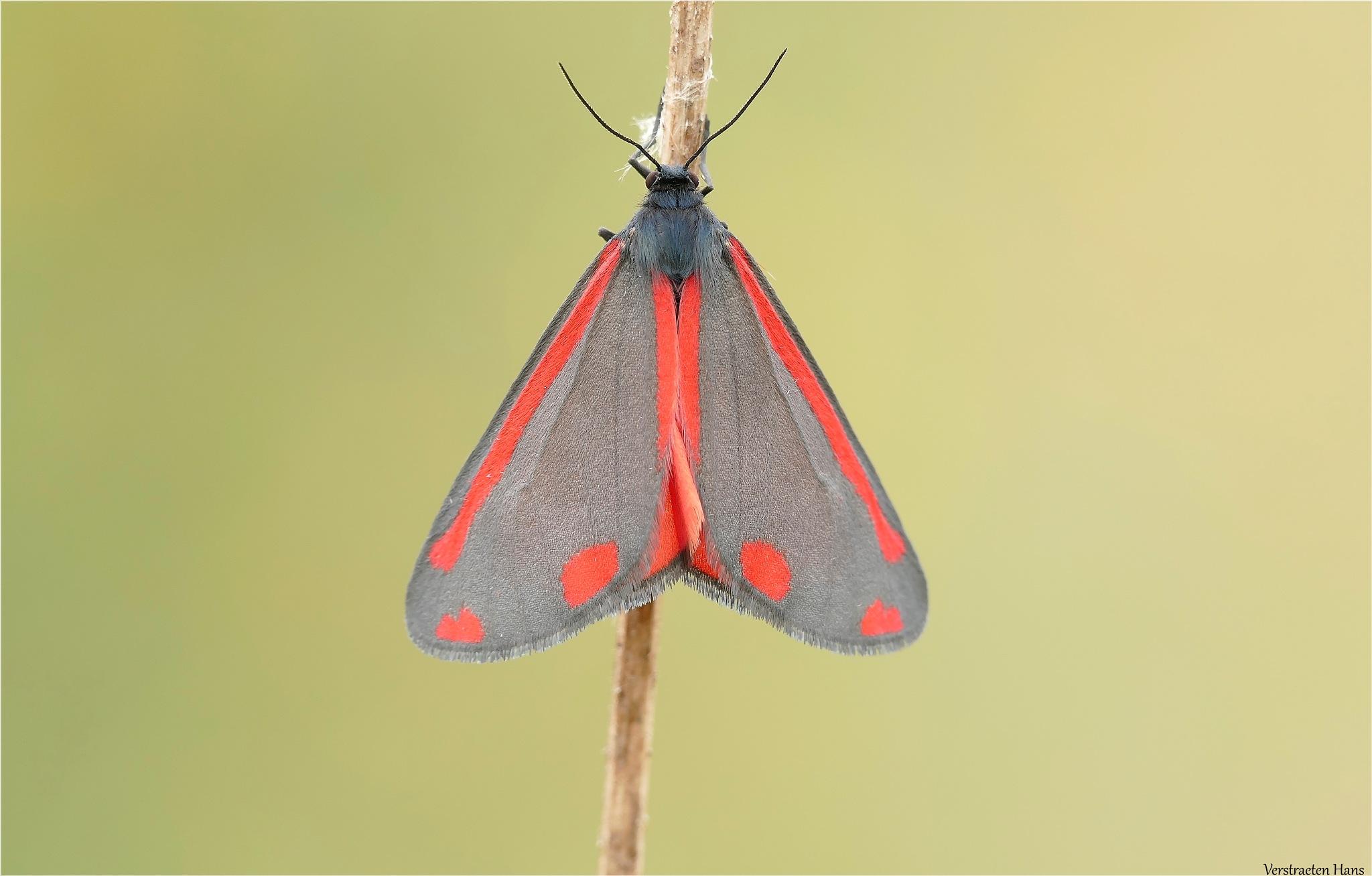 Sint-jacobsvlinder - Tyria jacobaeae by zard319