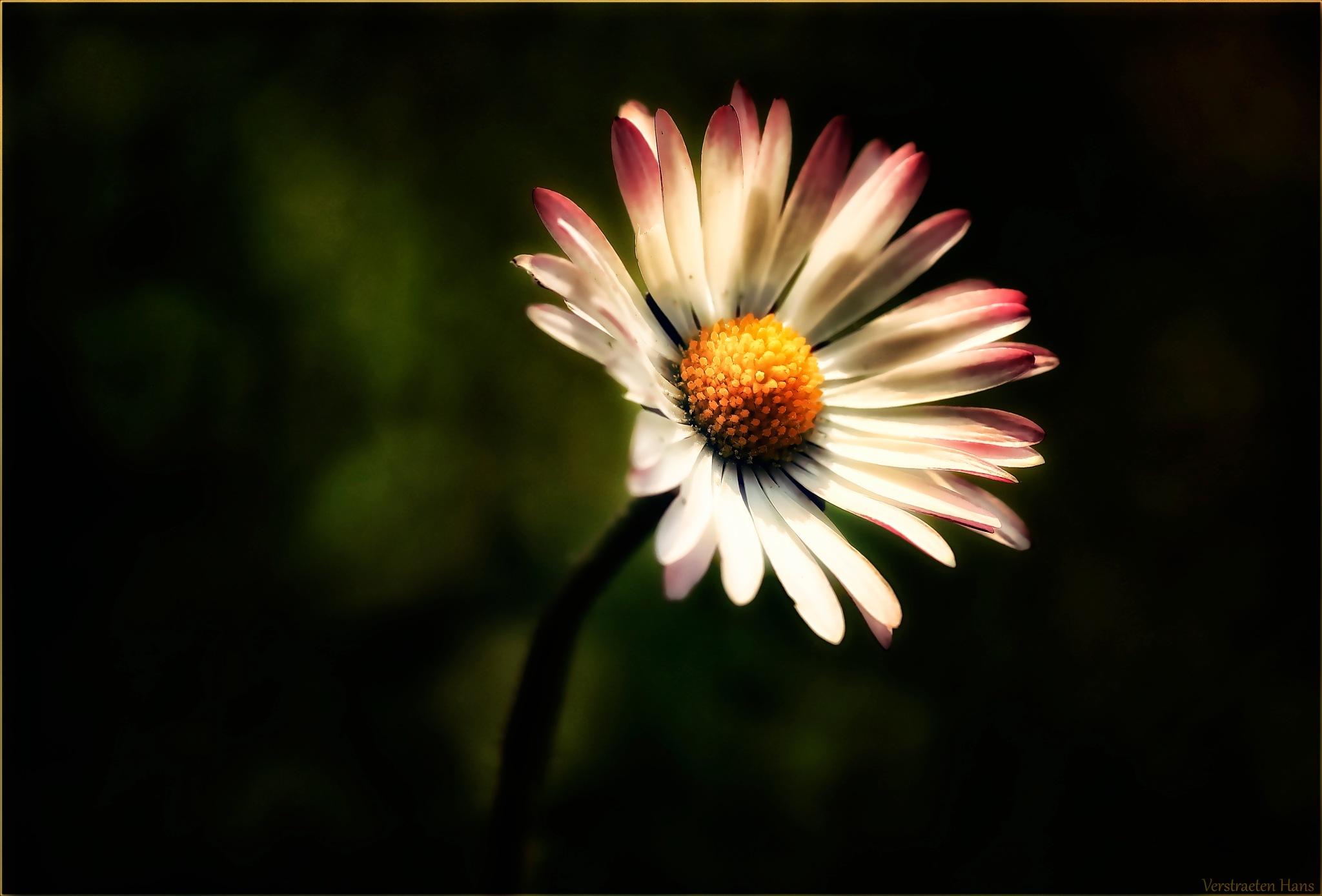 Daisy by zard319