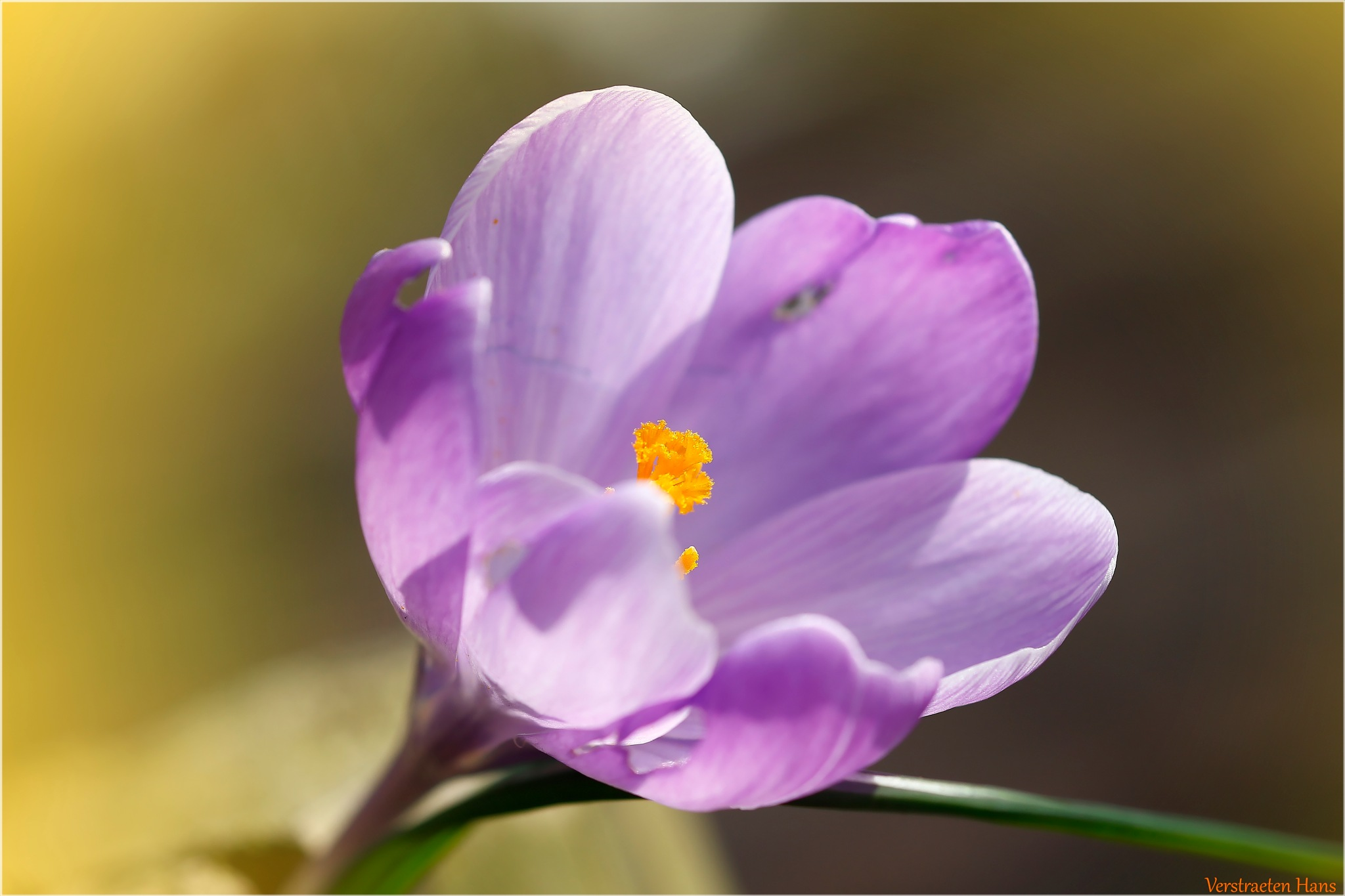 Crocus by zard319