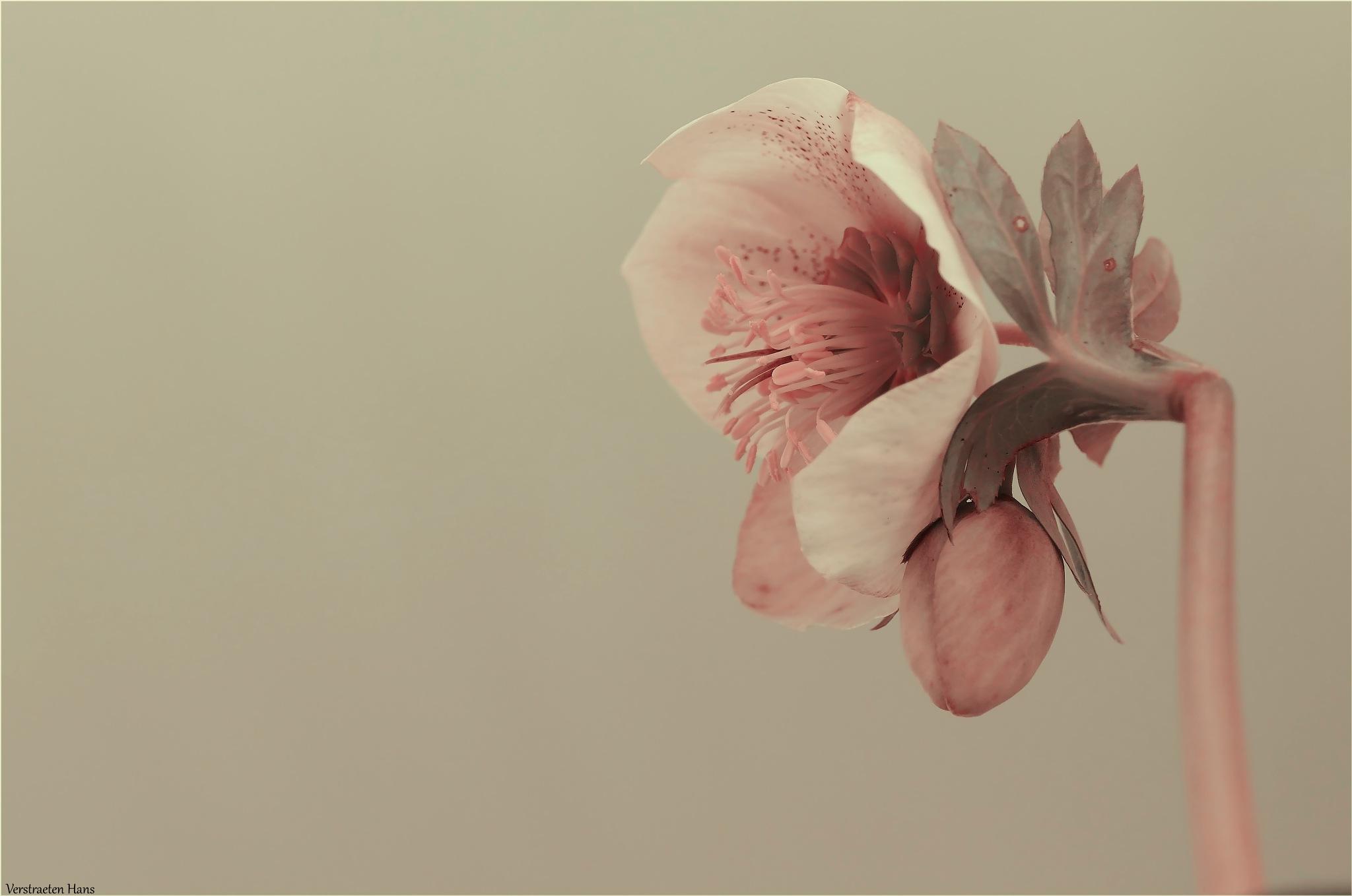 Helleborus  by zard319