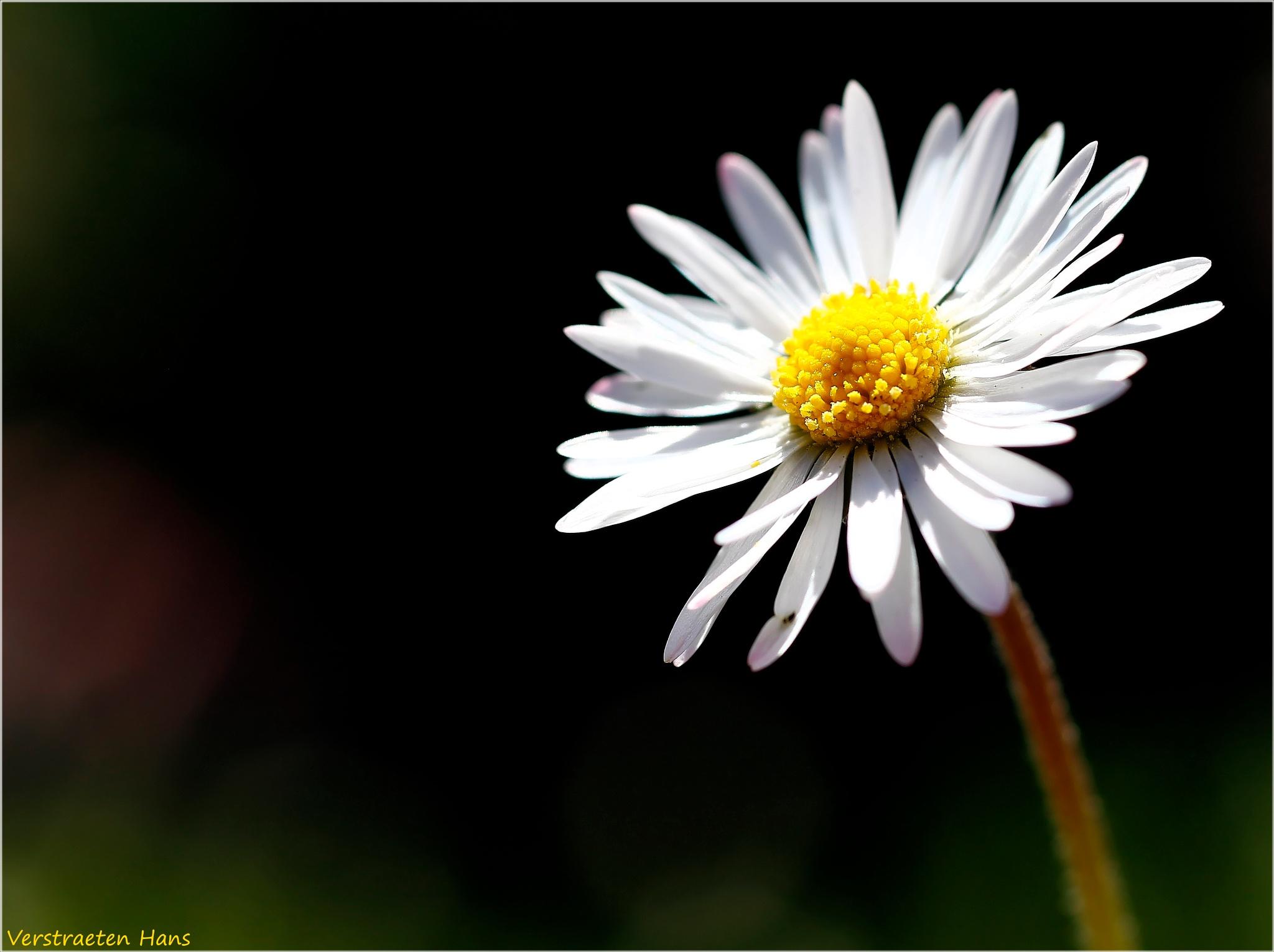 Daisy in the sun ... by zard319