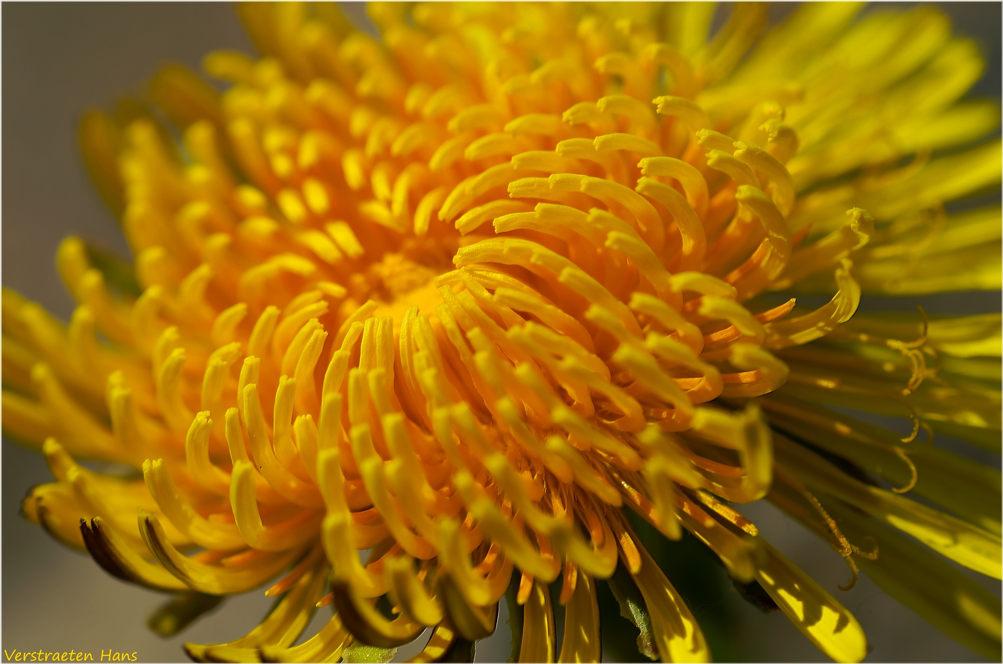 Photo in Macro #dandelion #macro #nature