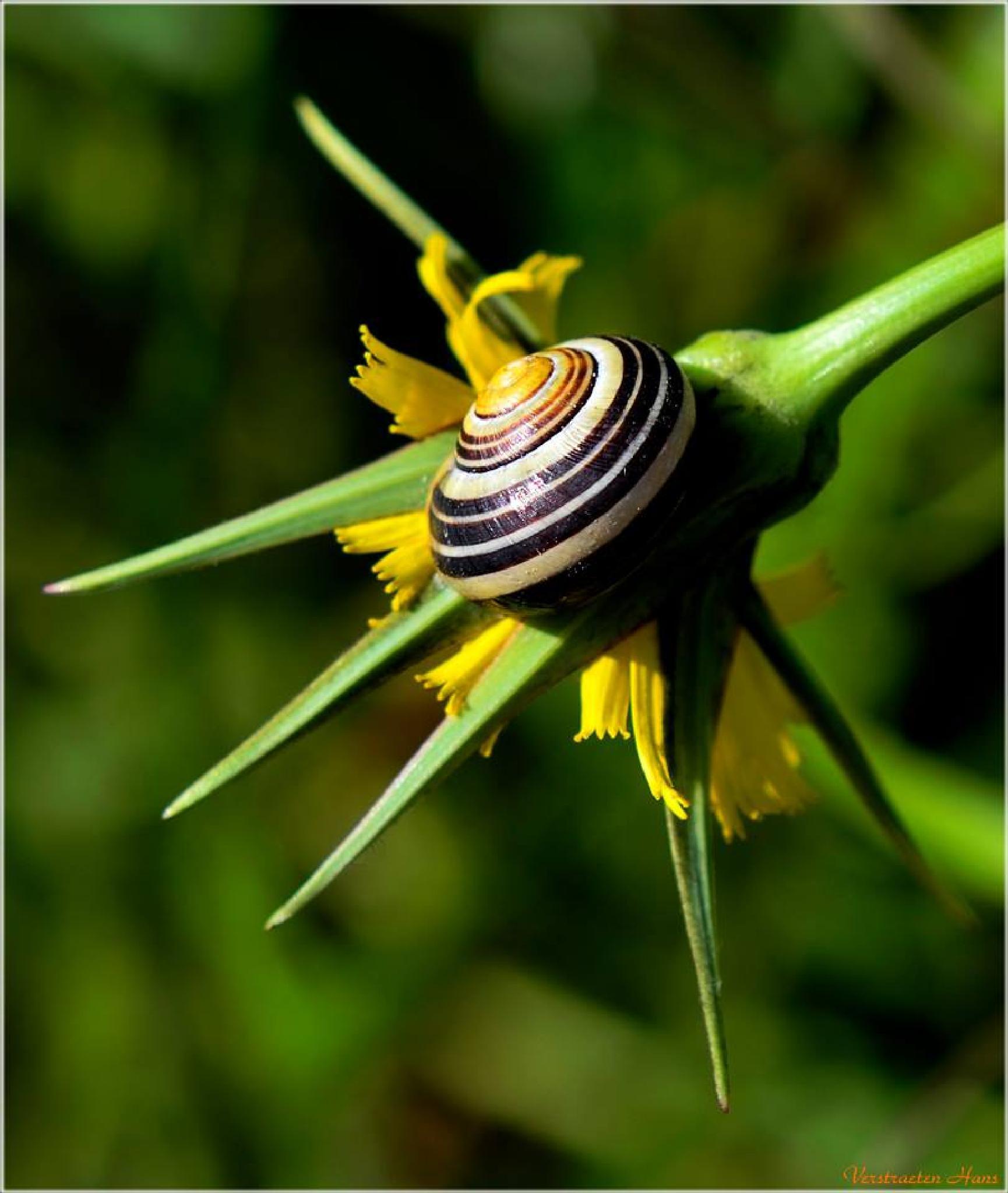 Snail on a yellow morningstar ... by zard319