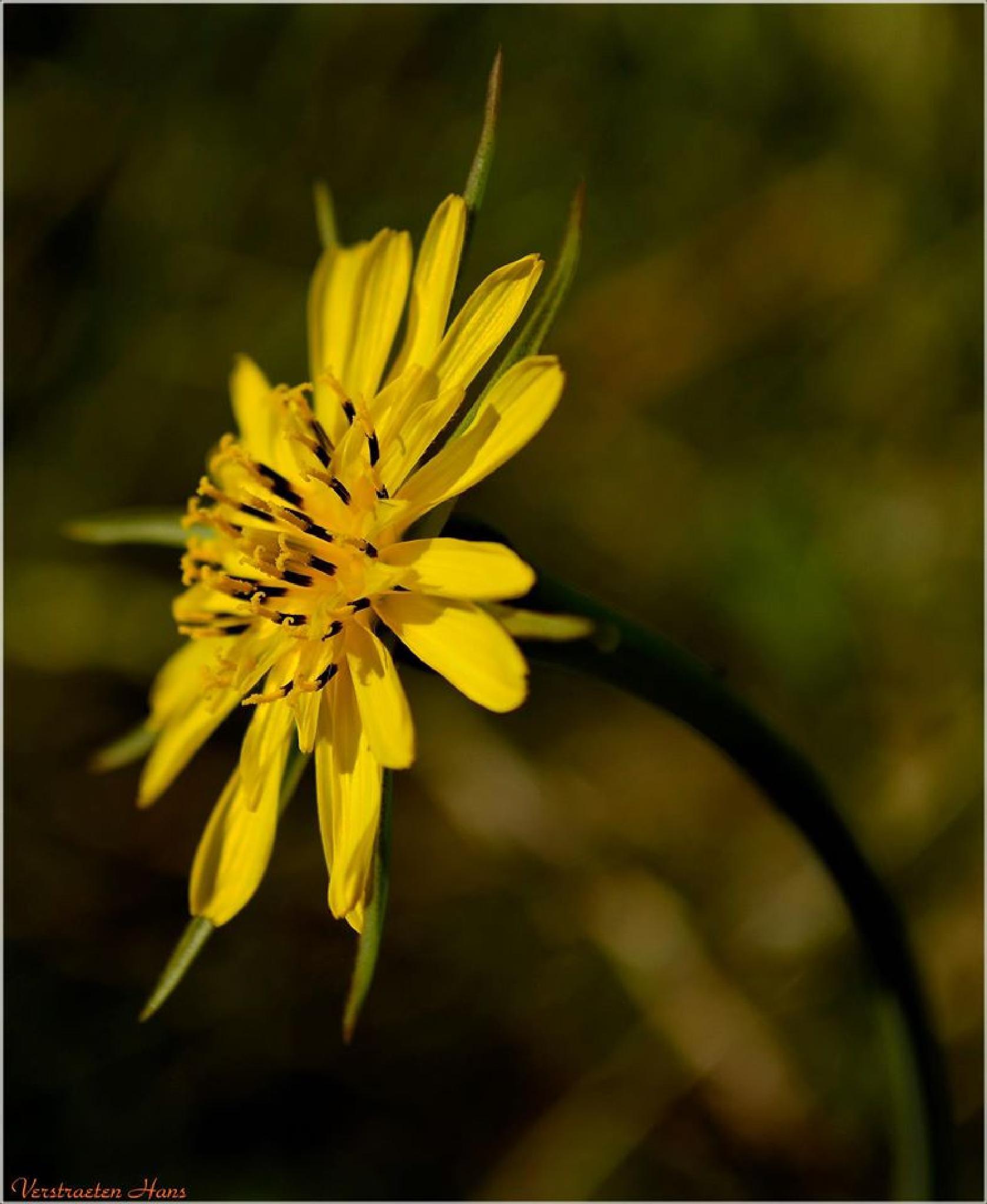 Yellow morningstar  by zard319