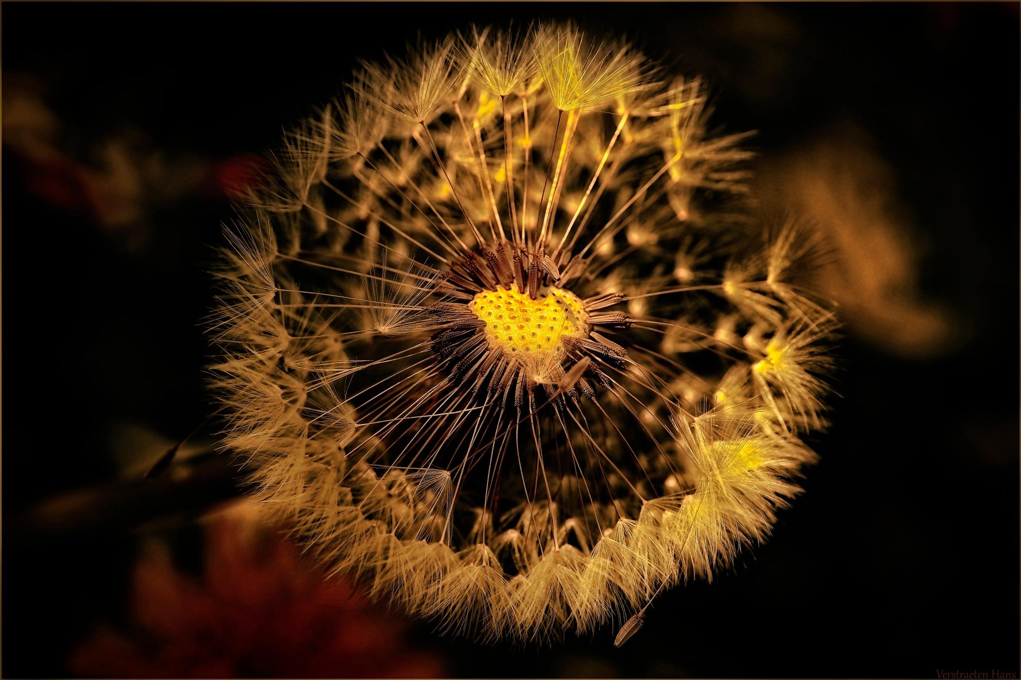 Dandelion by zard319