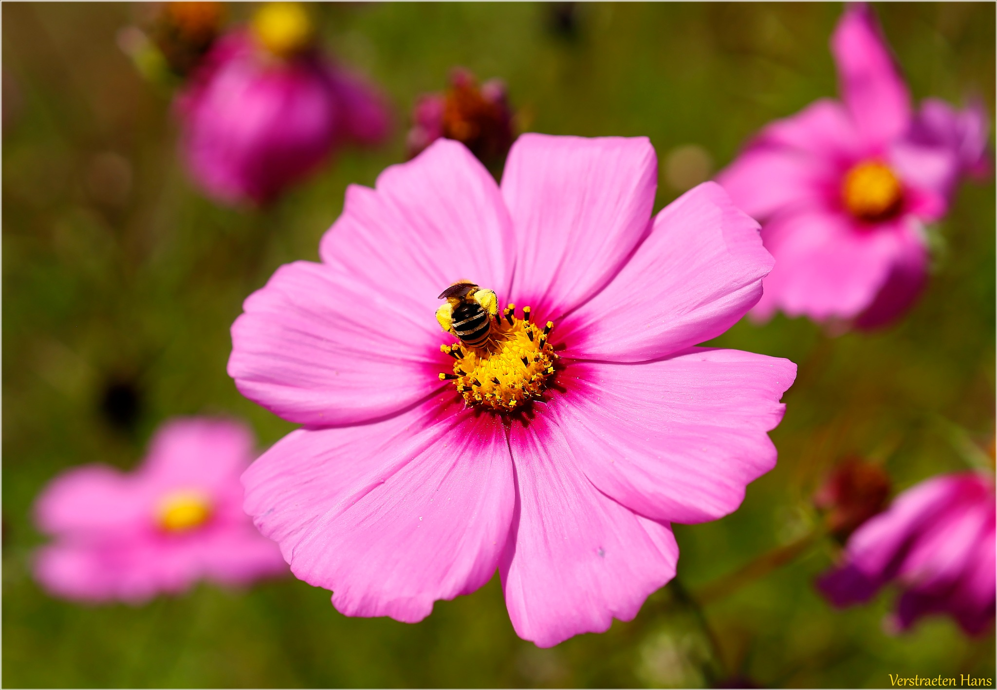 Pink flower with bee by zard319