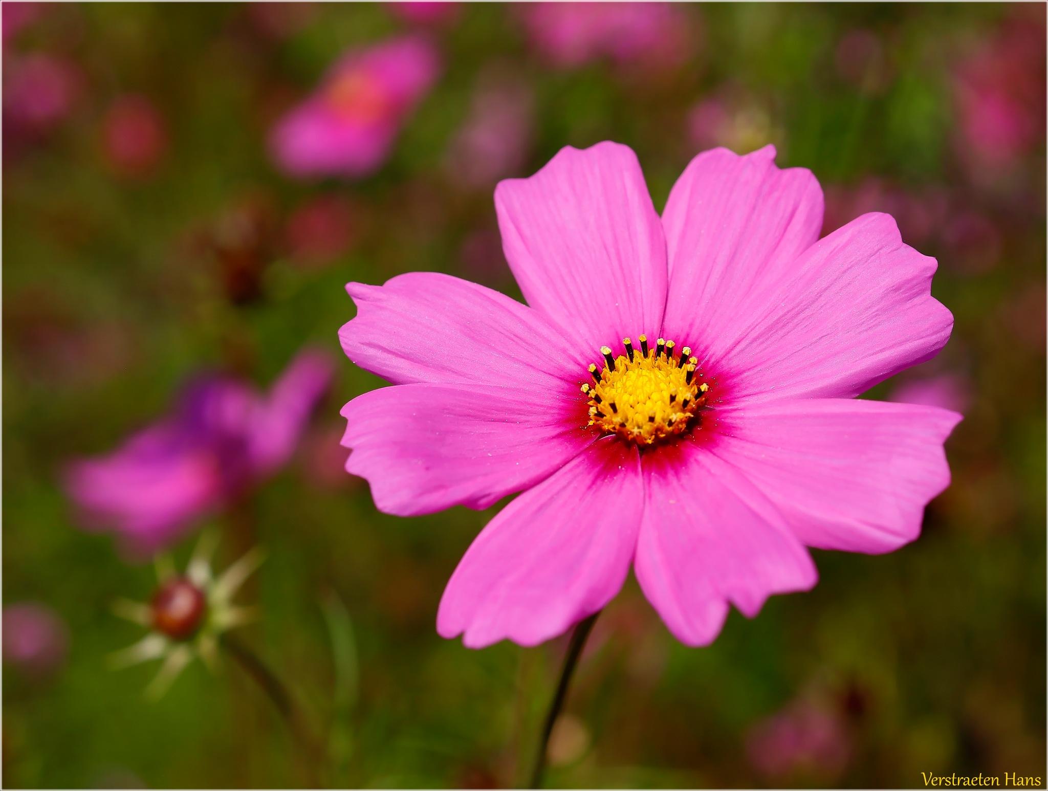 Pink flower by zard319