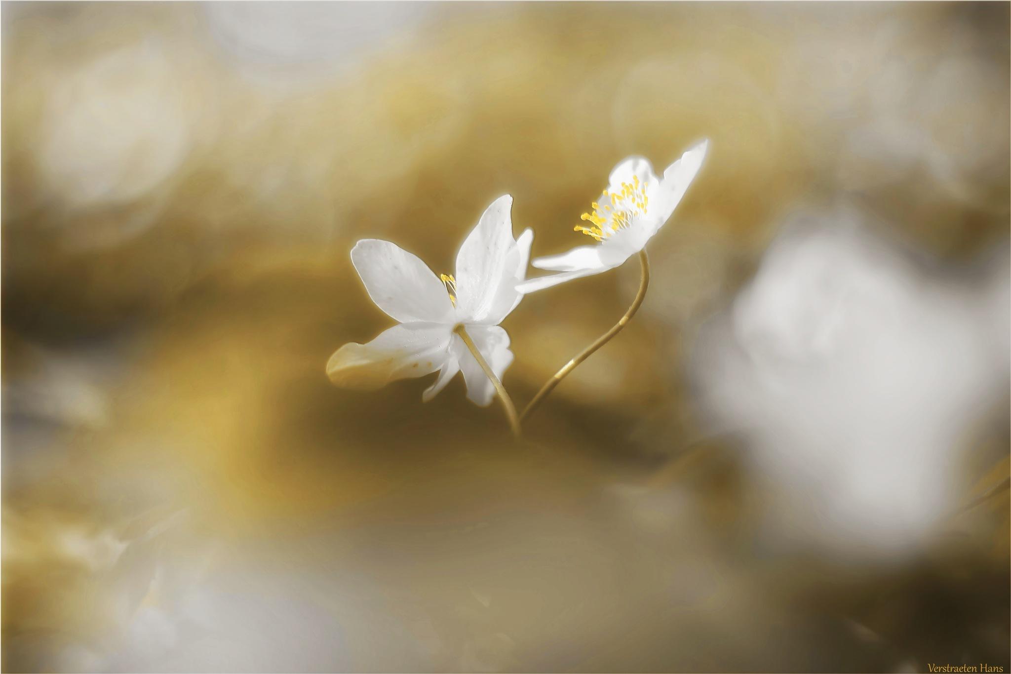 Photo in Macro #happy valentine's day #flower #soft #sweet #pistil #blooming #spring #wild flower #white flower
