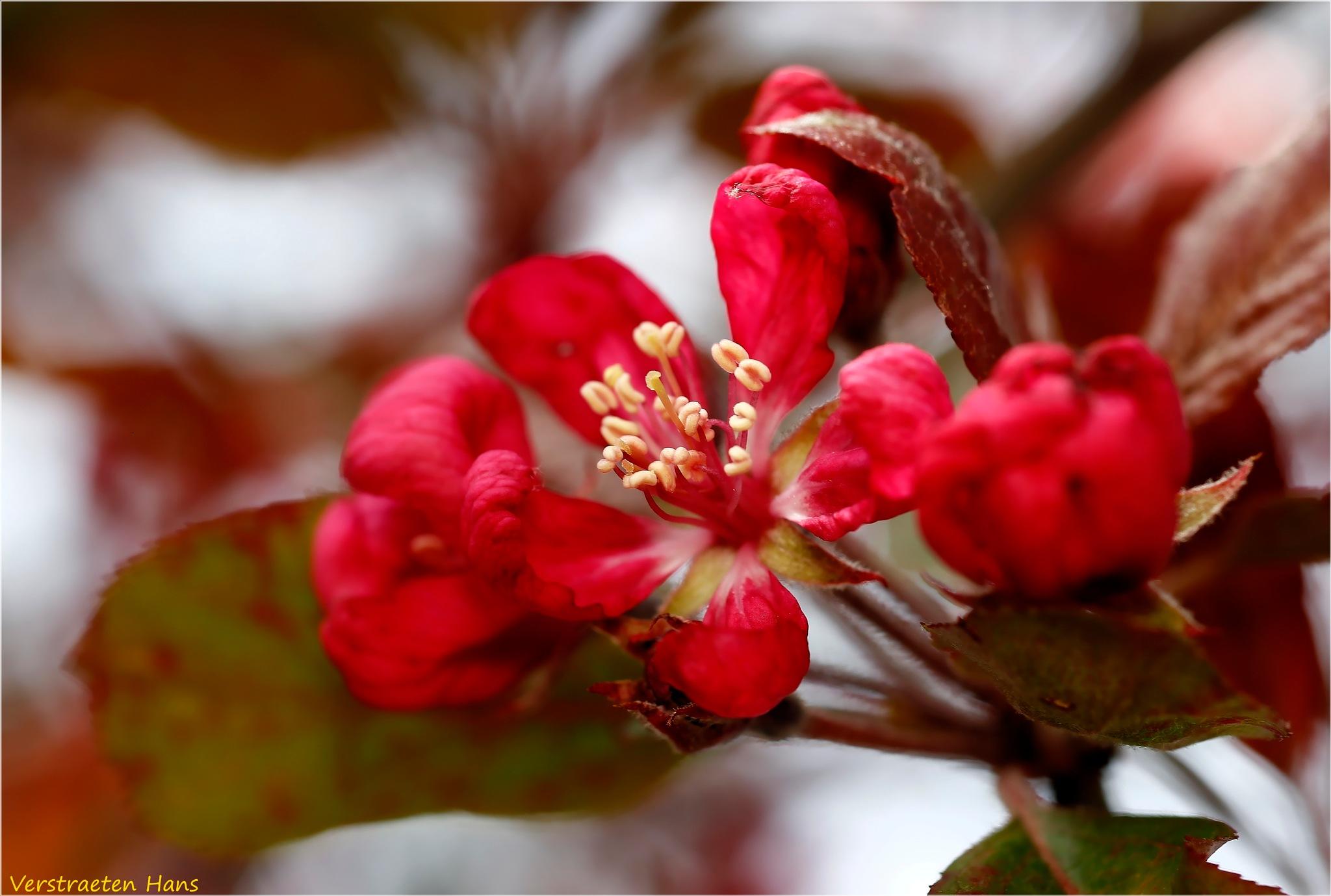 Red blossom by zard319