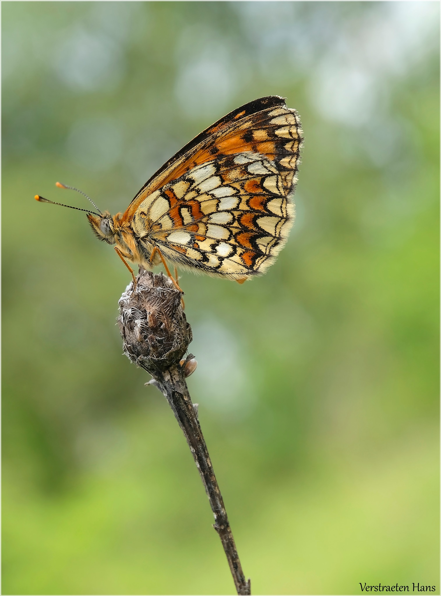 Bosparelmoervlinder - Melitaea athalia by zard319