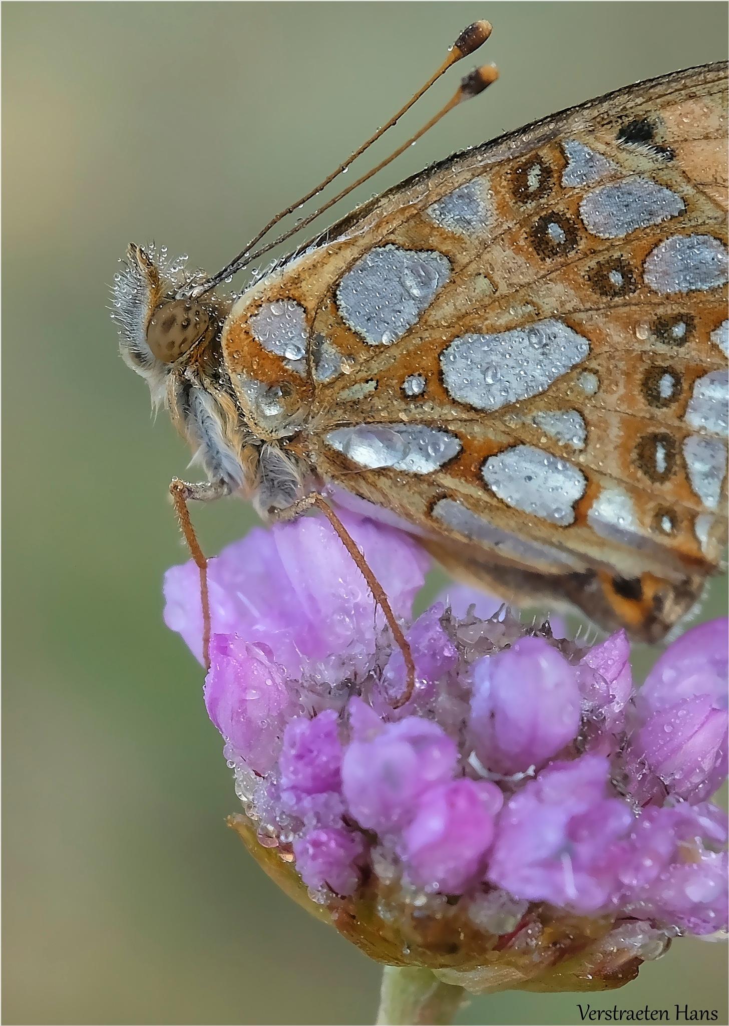 Kleine parelmoervlinder / Issoria lathonia by zard319