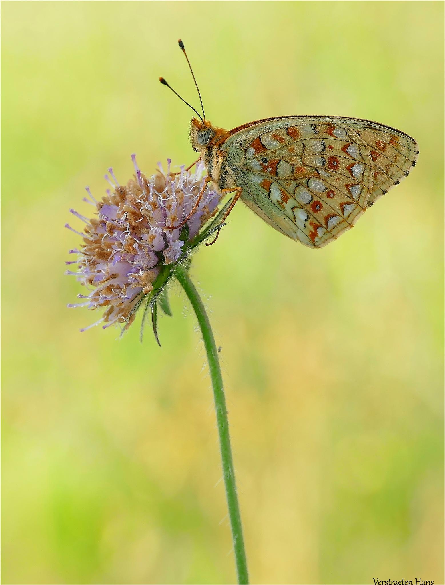 Duinparelmoervlinder Fabriciana niobe by zard319