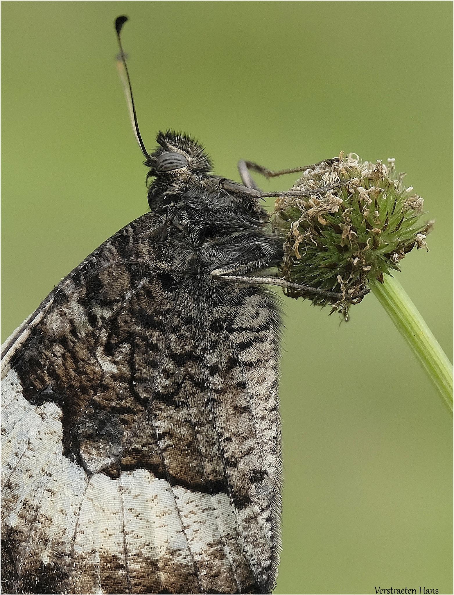 Grote boswachter - Hipparchia fagi by zard319