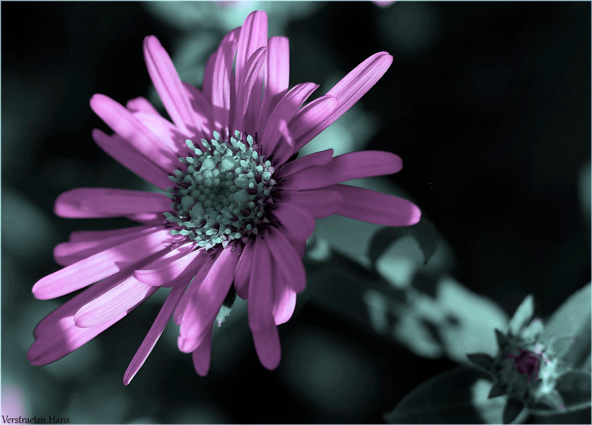 Purple by zard319