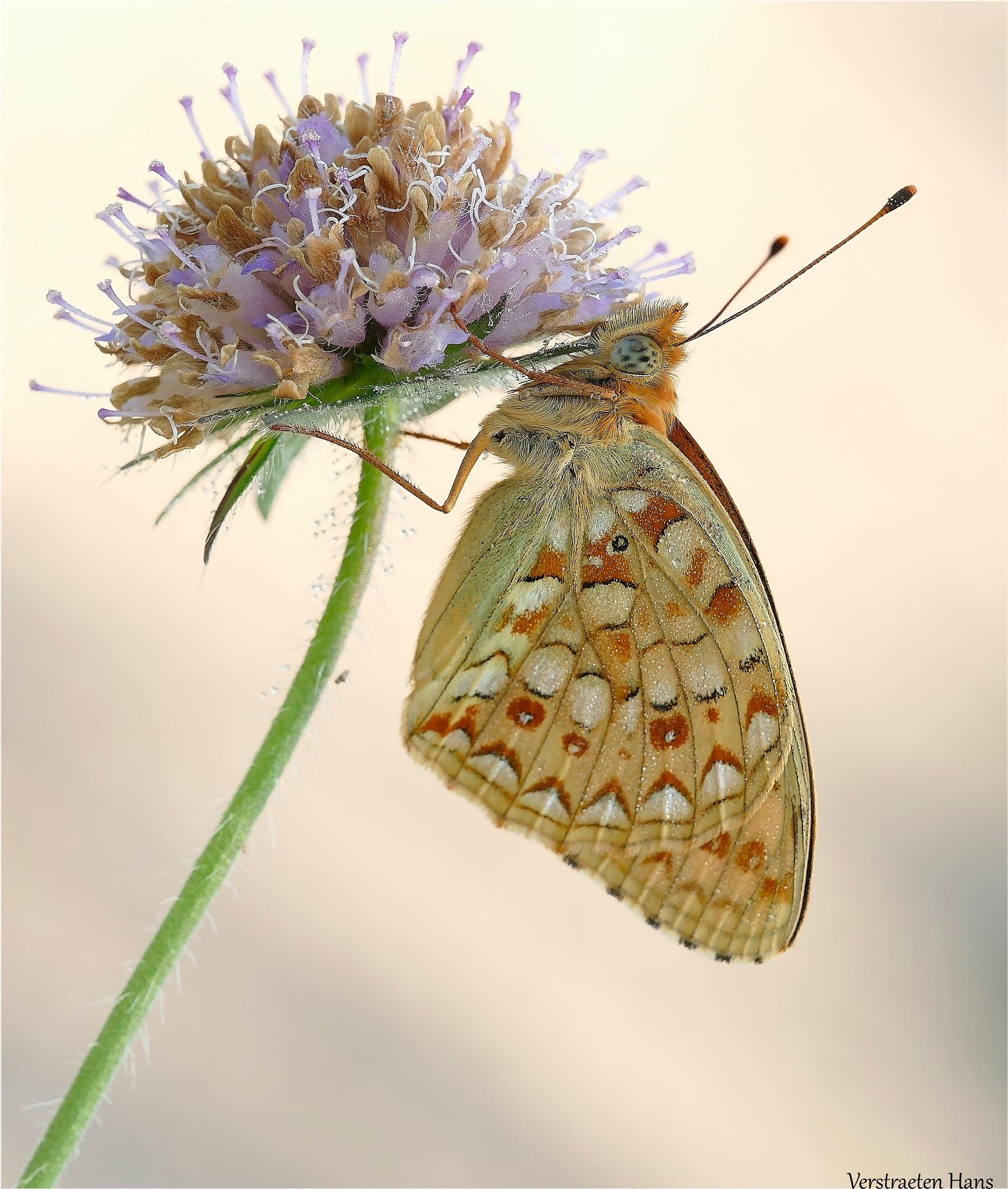 Duinparelmoervlinder - Argynnis niobe  by zard319