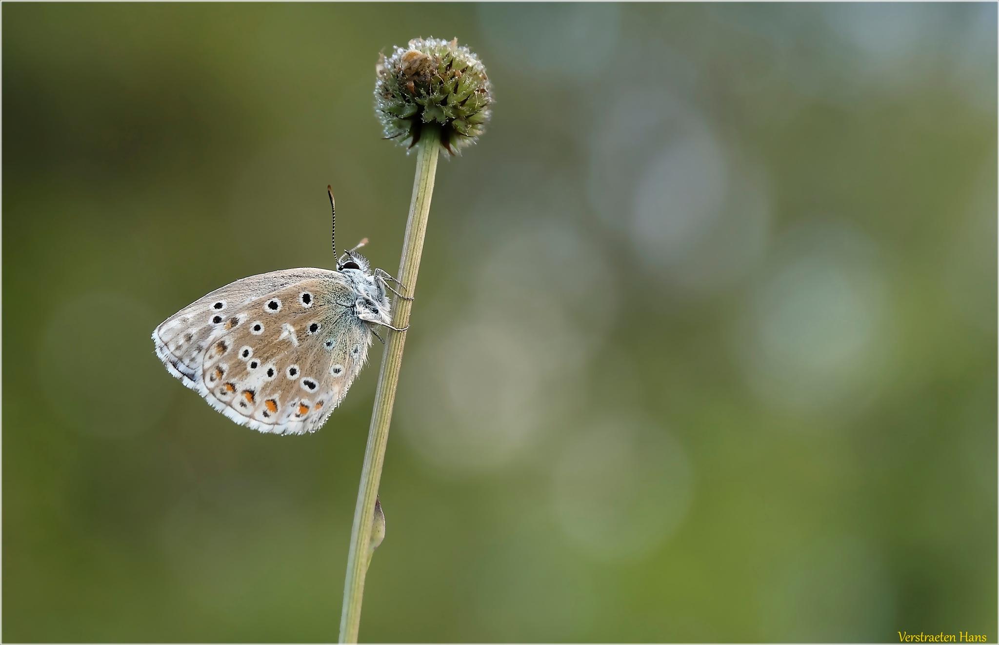 Adonisblauwtje - Polyommatus bellargus by zard319