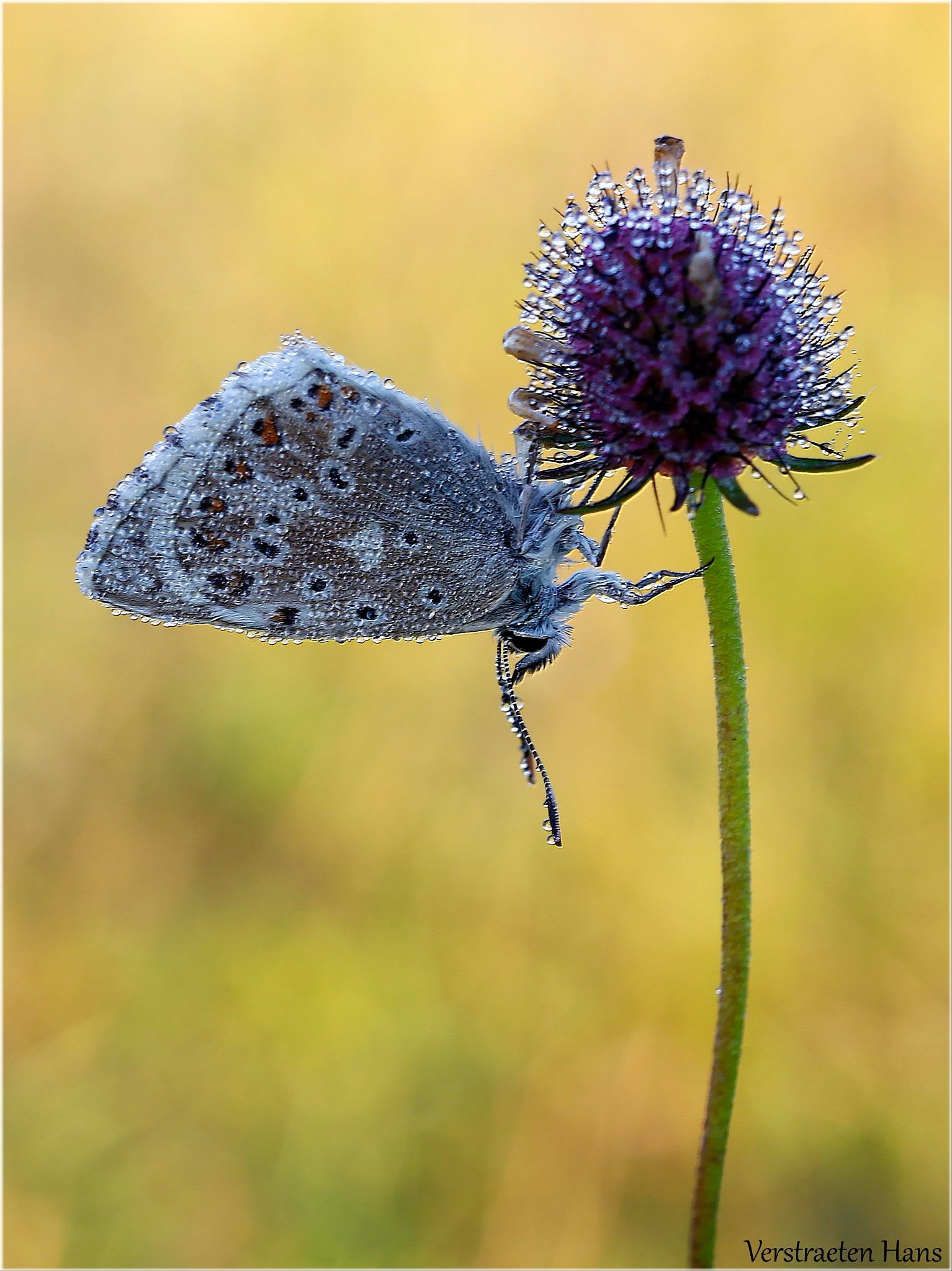 Bleek blauwtje (Polyommatus coridon) by zard319