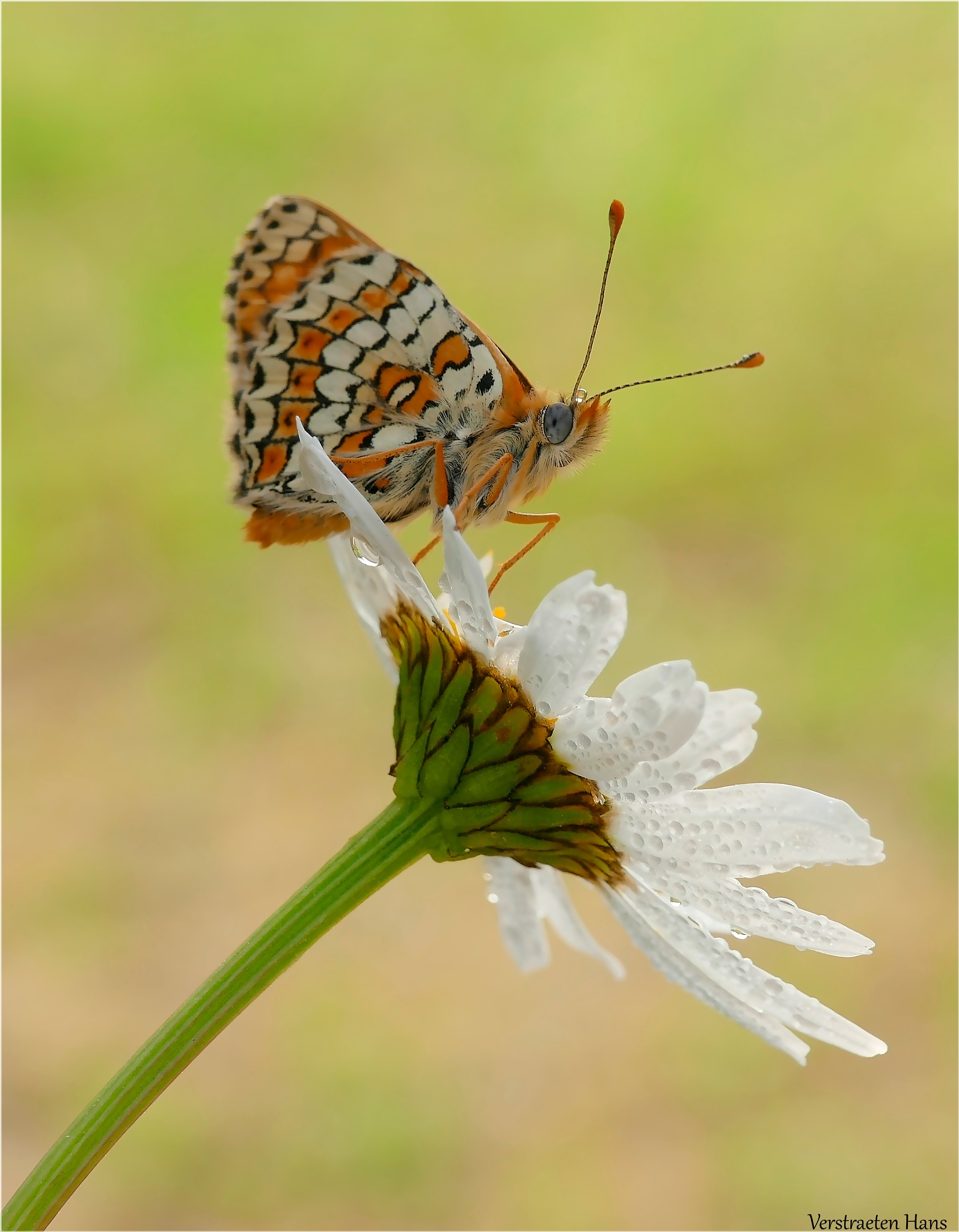 Veldparelmoervlinder - Melitaea cinxia by zard319